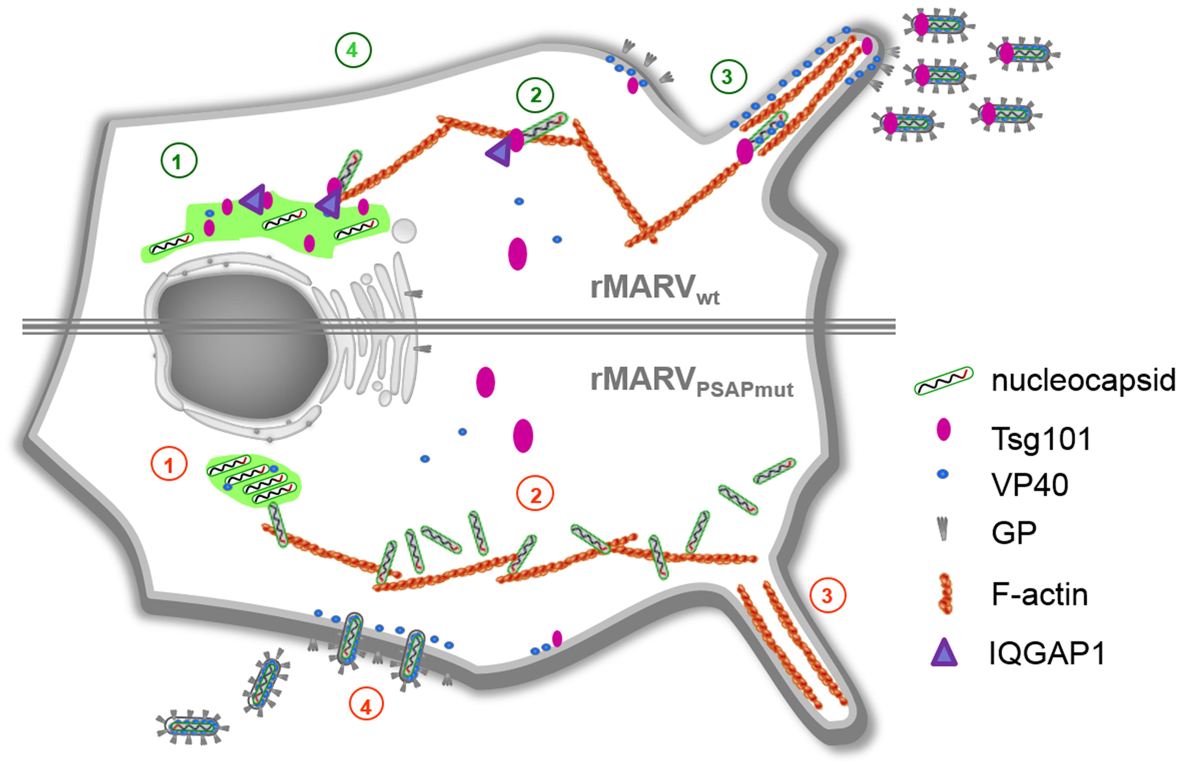 Schematic presentation of the rMARV<sub>PSAPmut</sub> phenotype in comparison to rMARV<sub>wt</sub>.