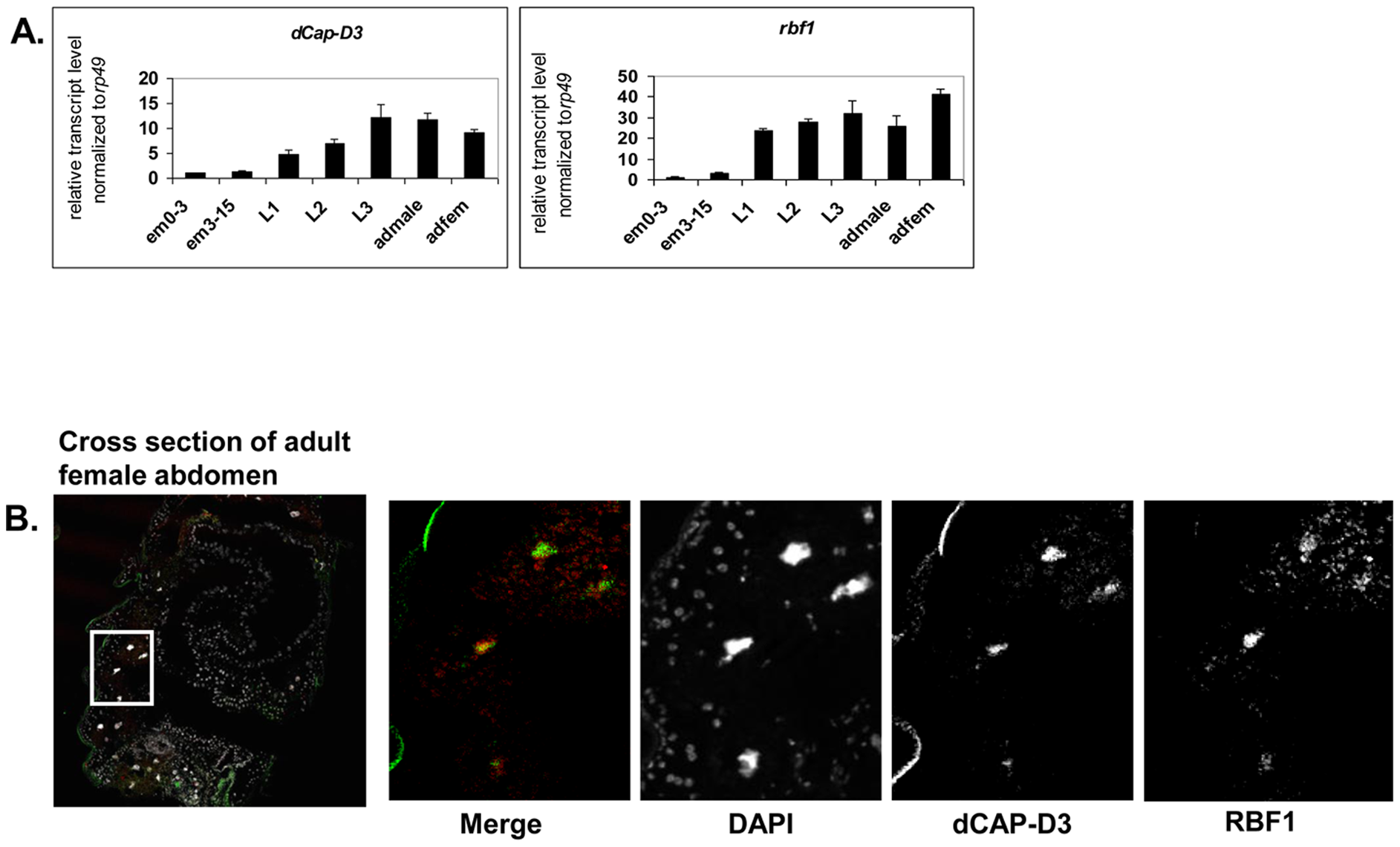 RBF1 and dCAP-D3 are highly expressed at later stages of development and co-localize in adult tissues.