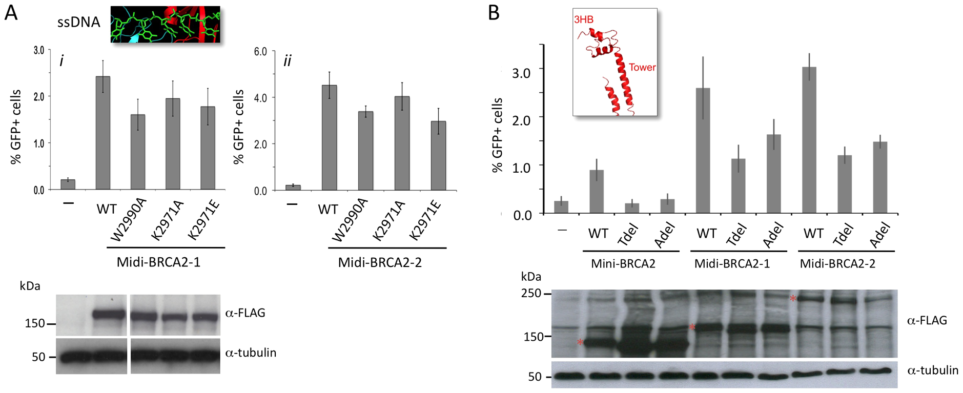 Interaction with PALB2 partially compensates for mutations in the DNA binding domain.