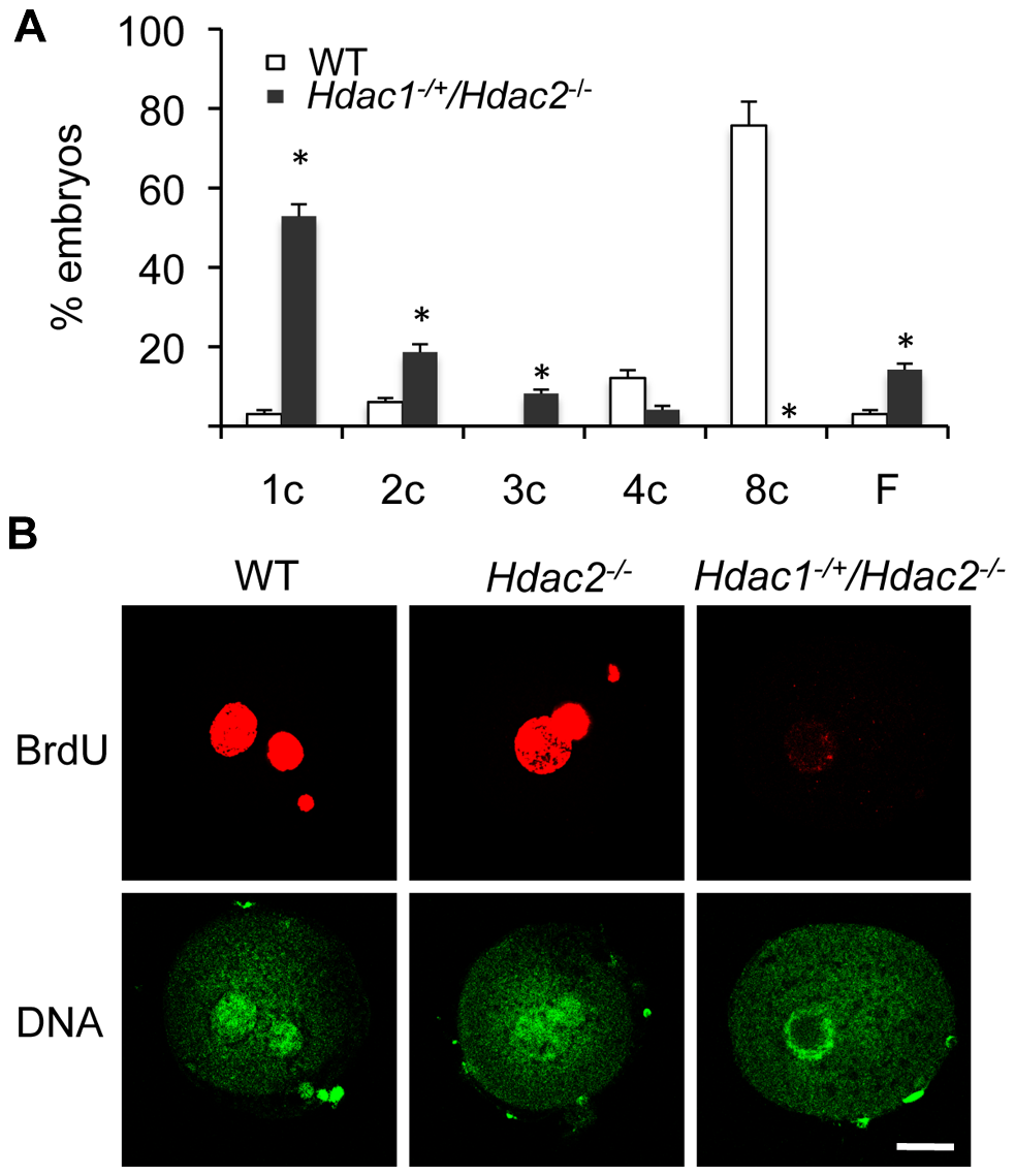 Deletion of maternal HDAC2 results in failure to replicate DNA 1-cell embryos.