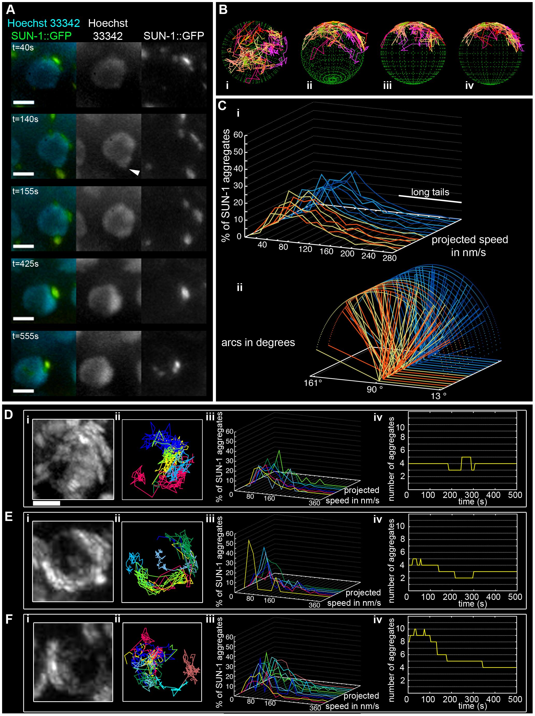 Dynamics of SUN-1 aggregates.