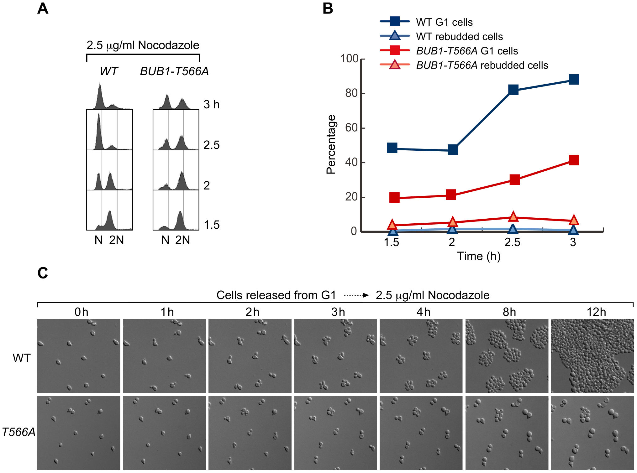 <i>BUB1-T566A</i> mutant cells are deficient in adapting to mitotic arrest induced by nocodazole at a low concentration.