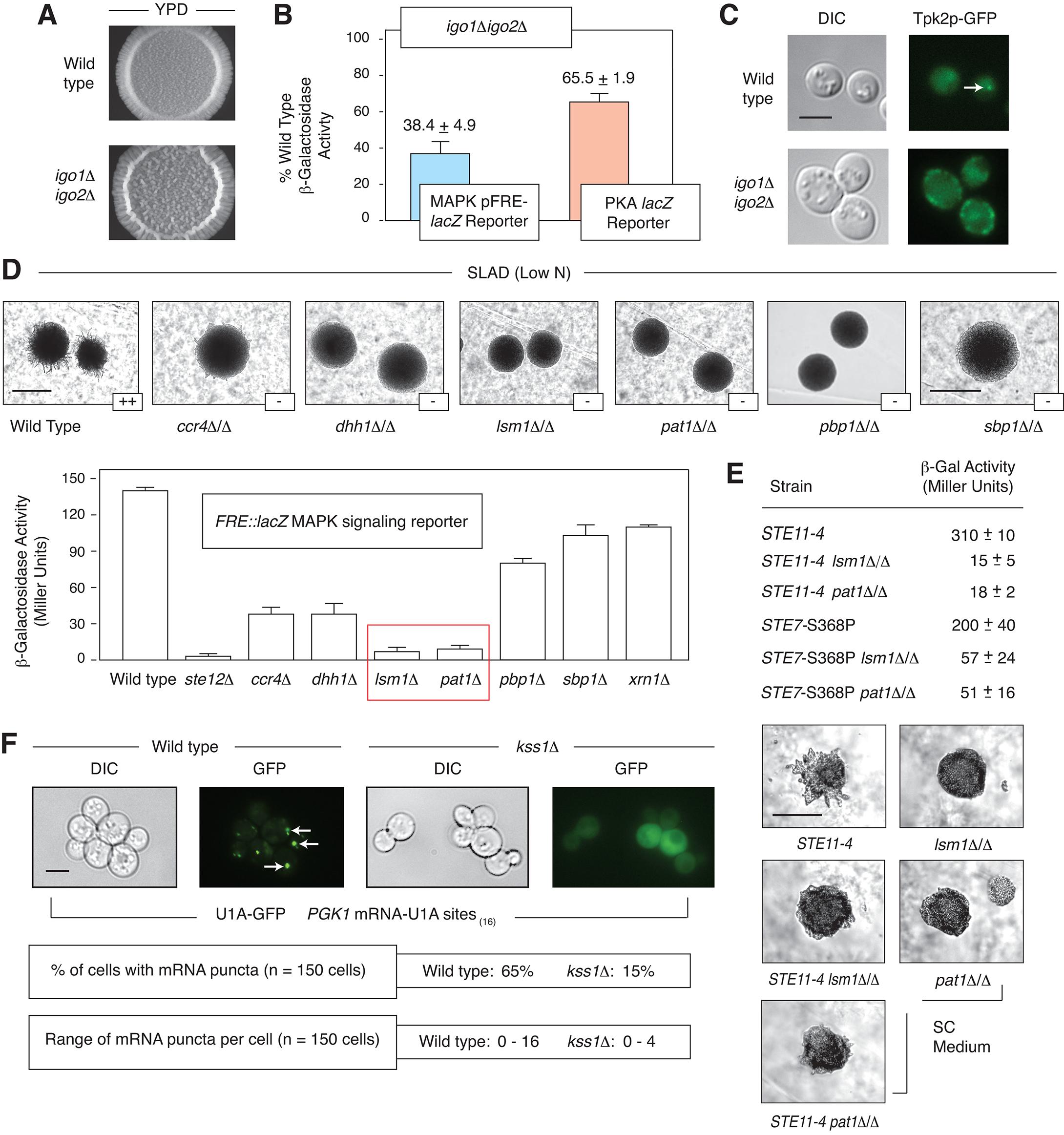 Interrelationship between mRNP components, PKA, and pseudohyphal growth MAPK signaling.