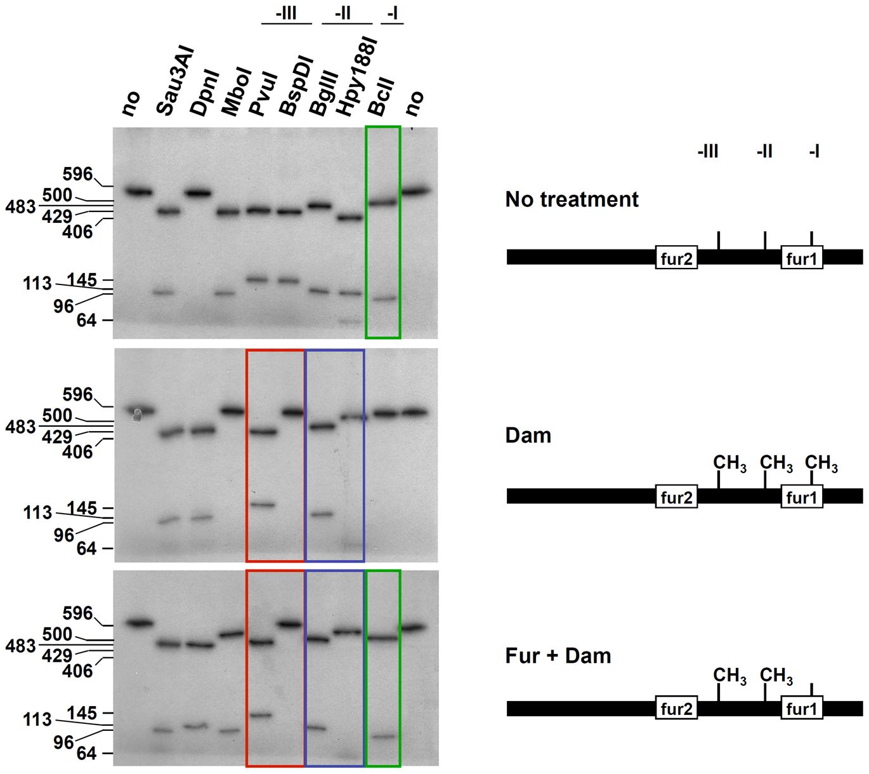 Fur protects GATC-I from methylation <i>in vitro</i>.