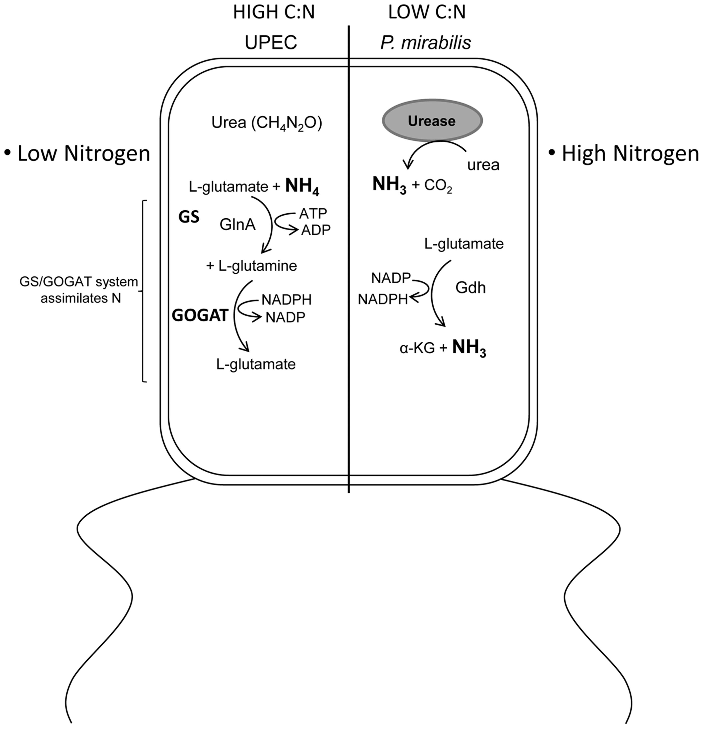 Model describing the differential effect of <i>E. coli</i> and <i>P. mirabilis</i> metabolism on the C/N ratio within the urinary tract.