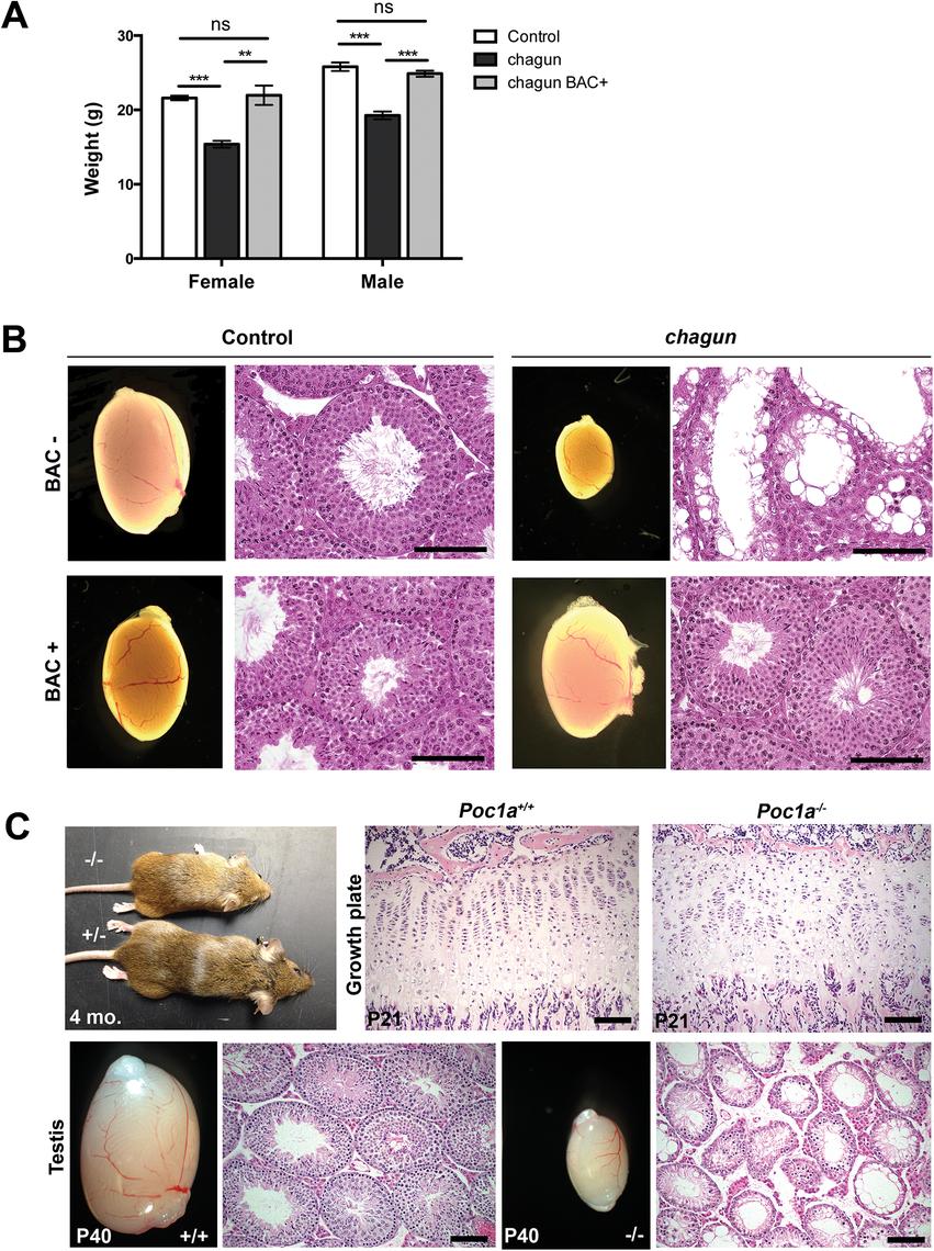 A <i>Poc1a</i> BAC transgene rescues <i>chagun</i>, and a null allele phenocopies <i>chagun</i>.
