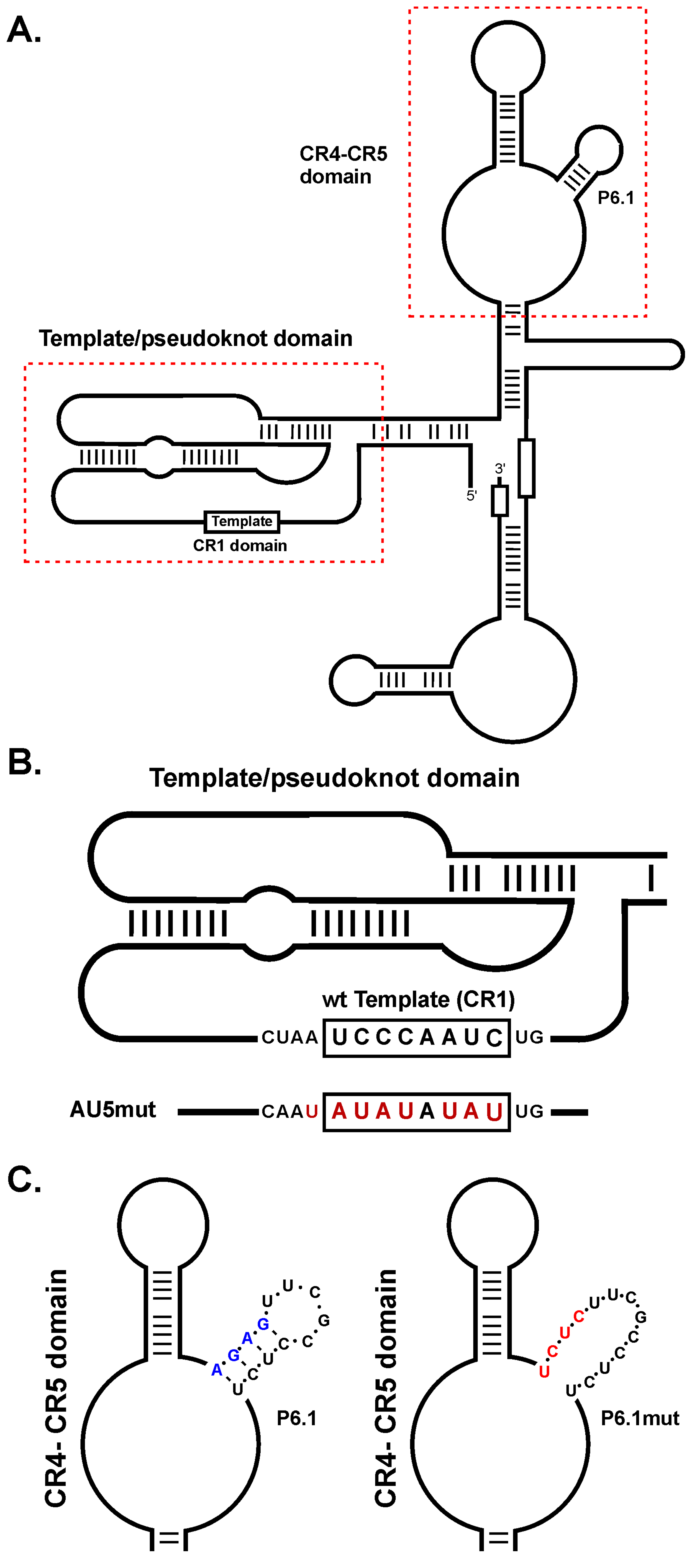 diagram of MDV vTR secondary structure, location of the CR1 and CR4-5 domains, and incorporated mutations.