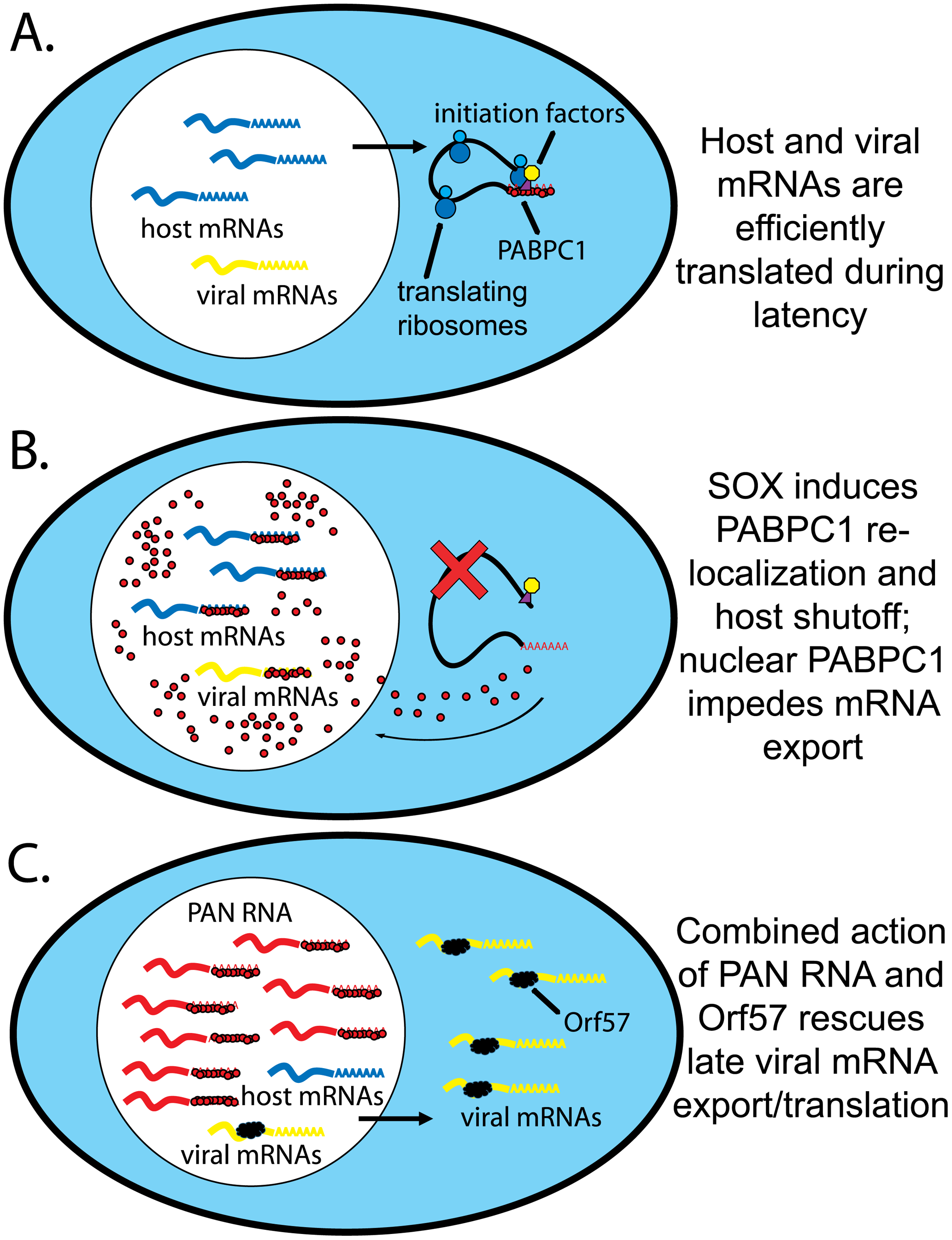 Model for PAN RNA sequestering nuclear re-localized PABPC1.