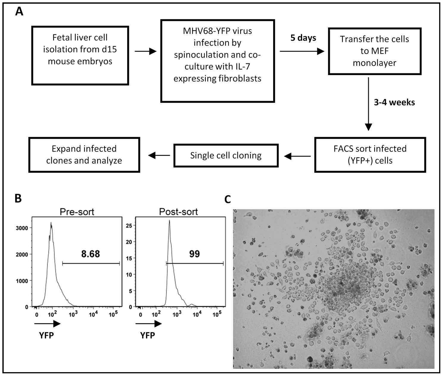 Generation of MHV68 immortalized fetal liver-derived B cell lines.