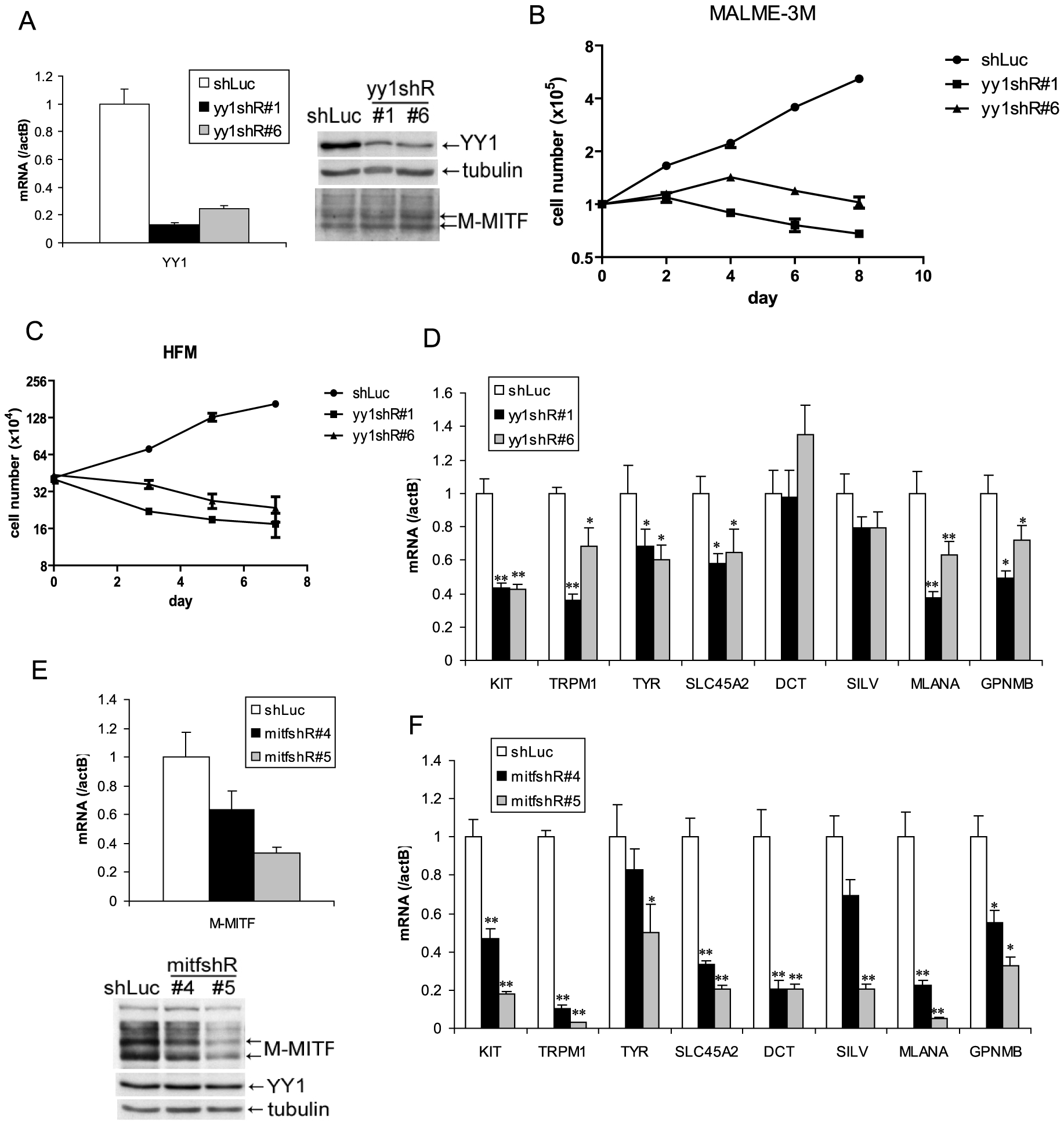 YY1 is required for melanocyte survival and the expression of melanocyte differentiation markers in vitro.