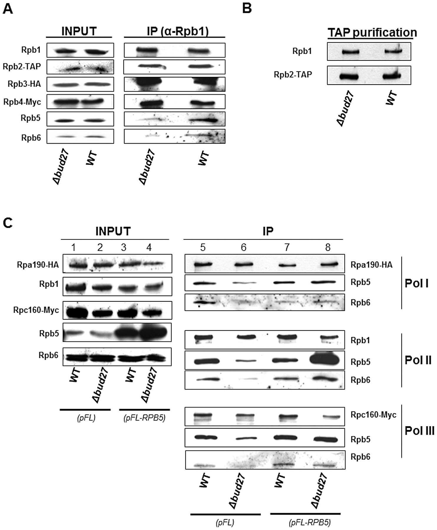 Lack of Bud27 affects assembly of RNA pol I, II, and III.