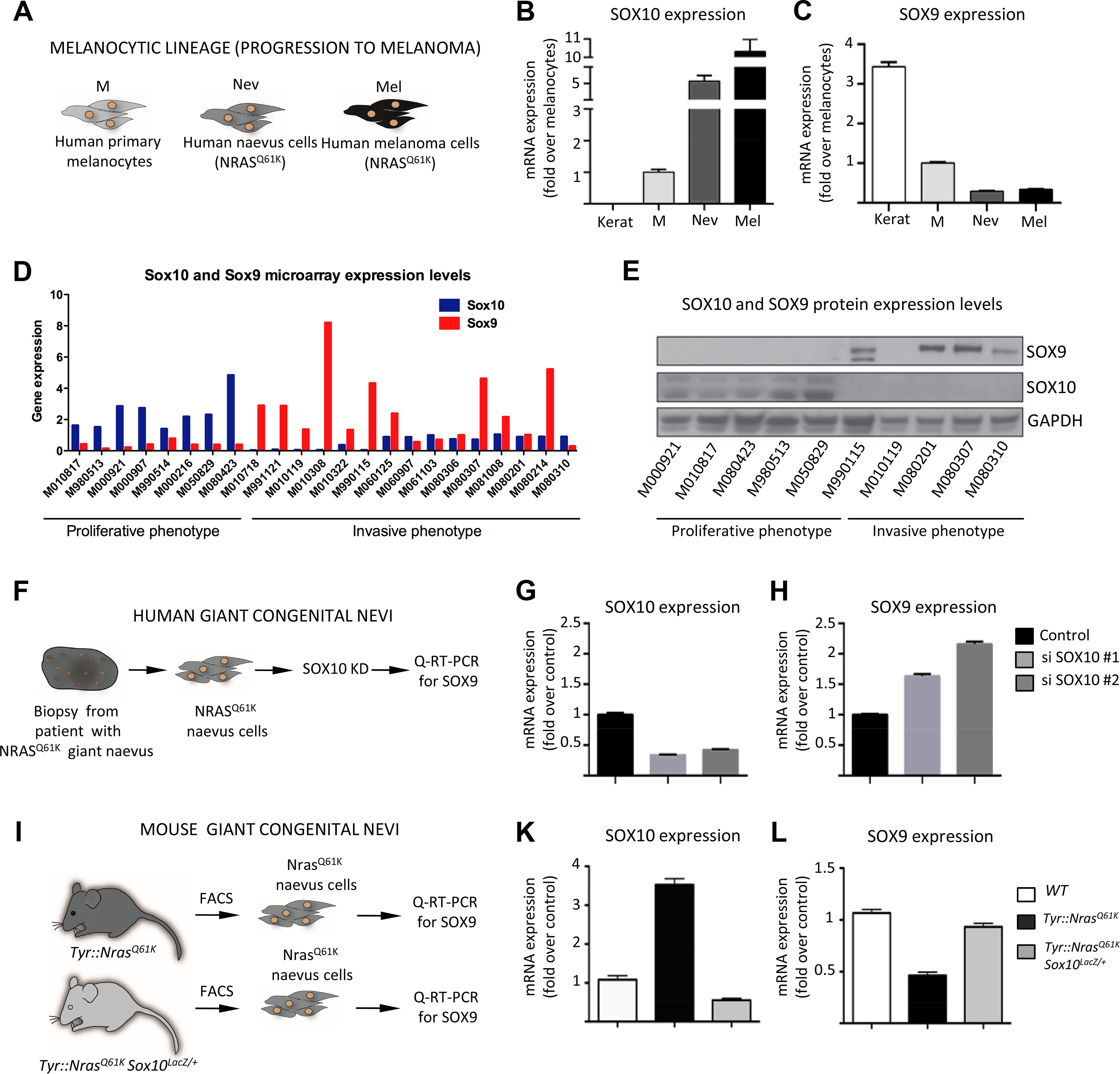 SOX10 knockdown results in elevated SOX9 expression in mouse and human melanocytes.