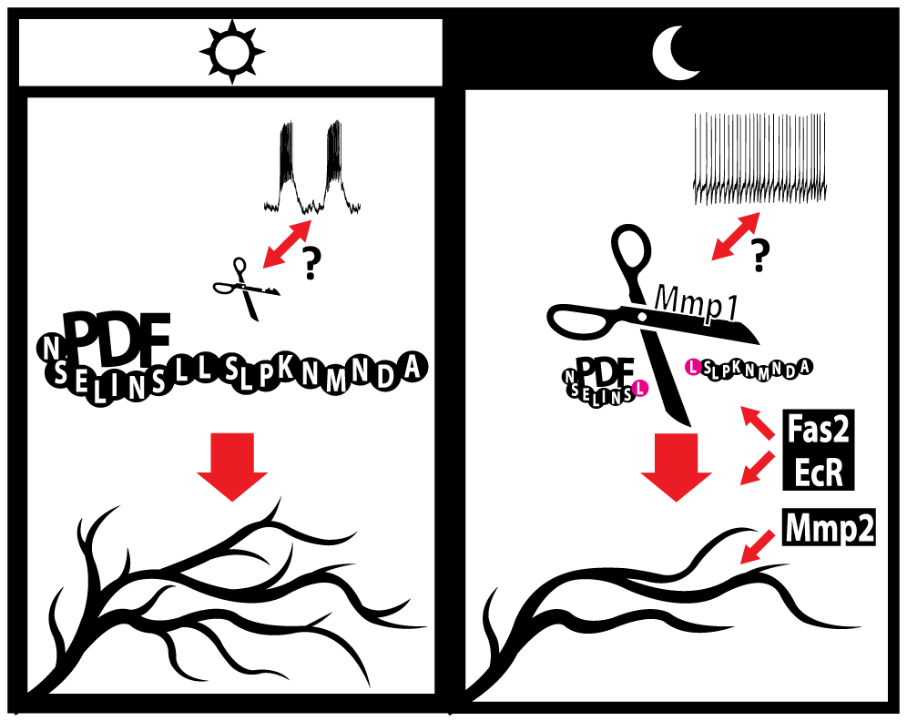 A model for the regulation of circadian axonal remodeling of sLNv neurons.
