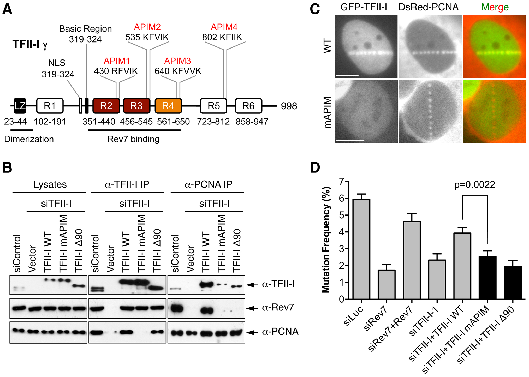 The PCNA-binding motifs and N-terminal region of TFII-I are required for translesion synthesis.