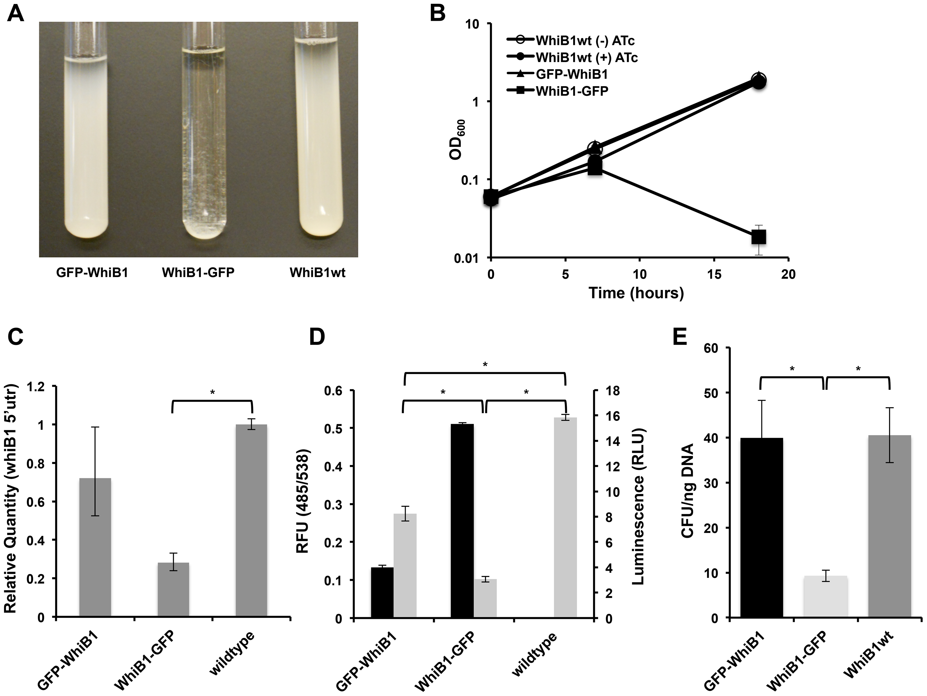 Blocking Clp-dependent degradation of WhiB1 is toxic in mycobacteria.