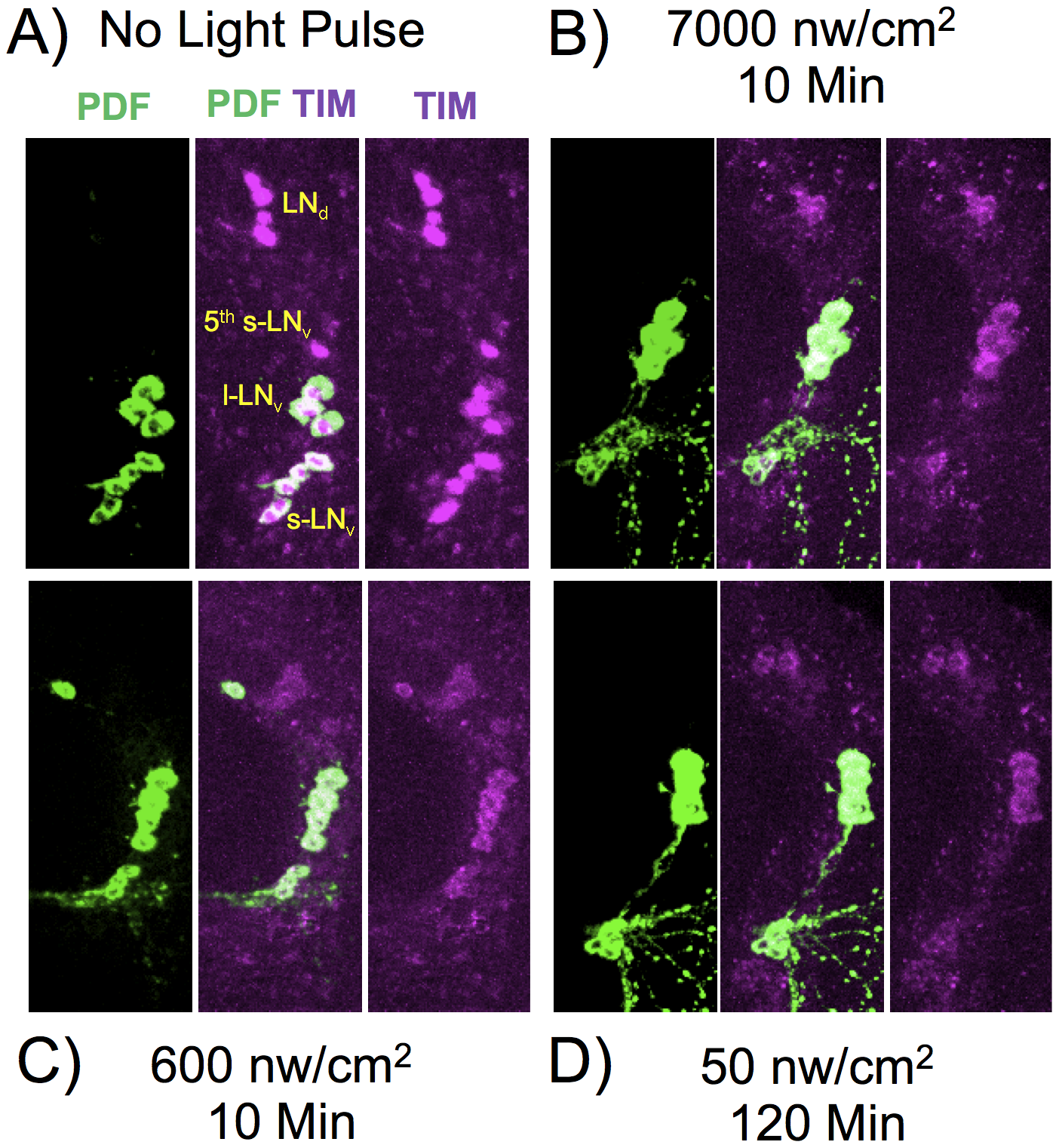 TIM and PDF immunostaining in various LNv neurons.