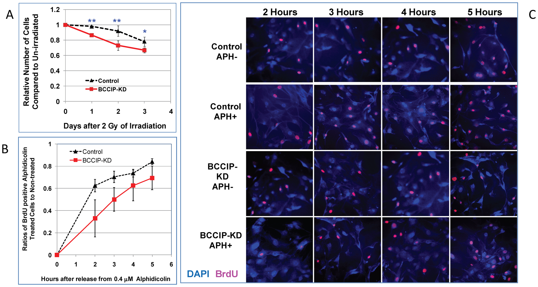 BCCIP-deficient MEF cells are more sensitive to irradiation and replication stress.