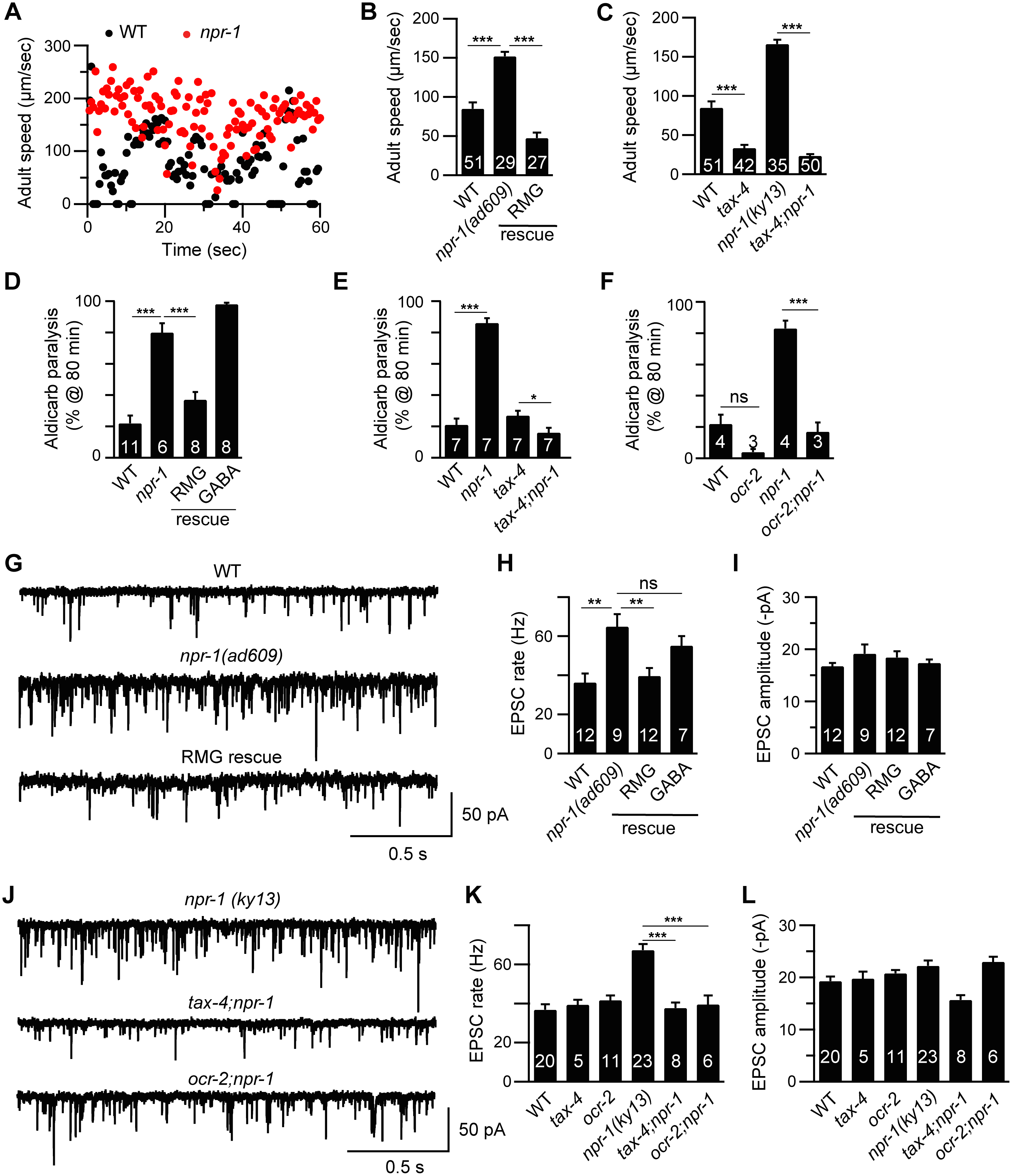 Cholinergic transmission at NMJs is enhanced by increased sensory activity in <i>npr-1</i> adults.