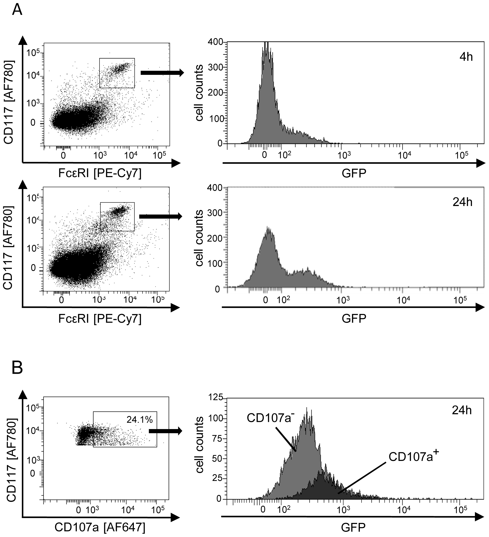 Degranulation of mast cells (MC) is triggered by direct infection <i>in vivo</i>.