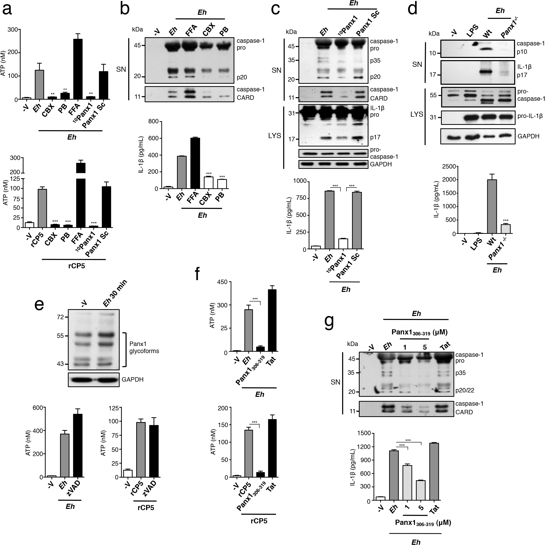 Panx-1 channels release ATP in response to <i>E</i>. <i>histolytica</i> (<i>Eh</i>).