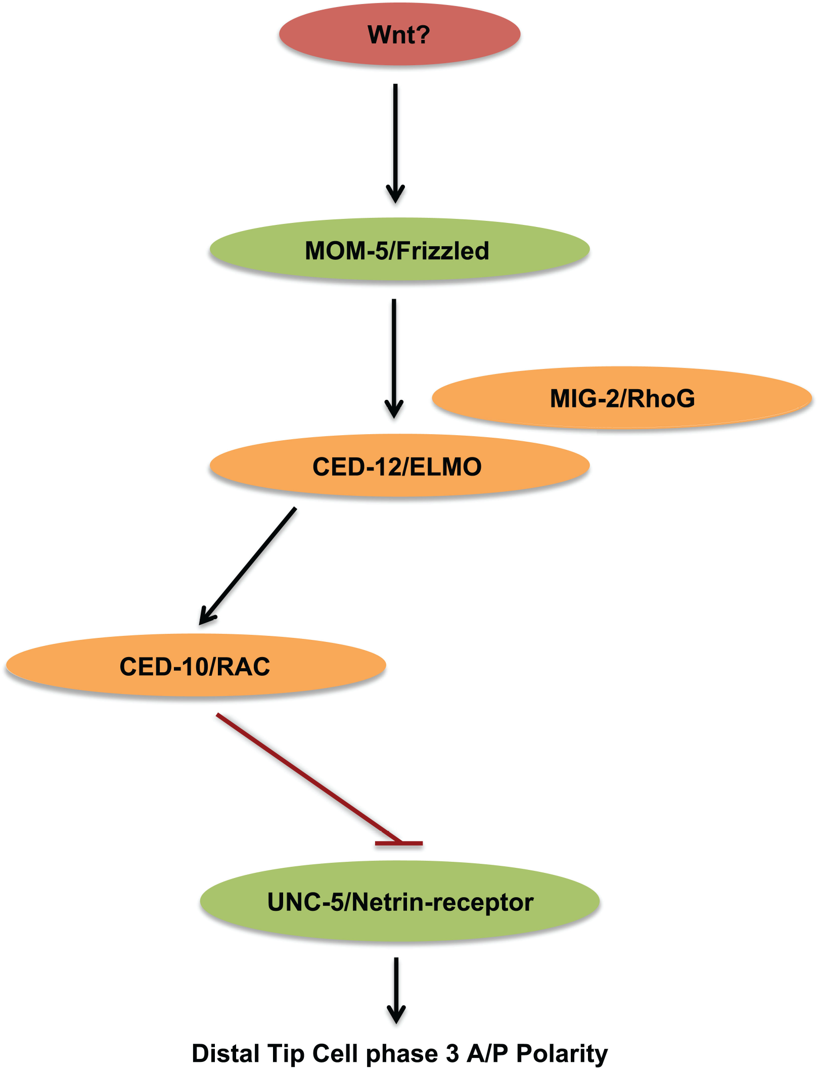 MOM-5/Frizzled through small GTPases functions to negatively regulate the UNC-5 receptor for UNC-6/Netrin.