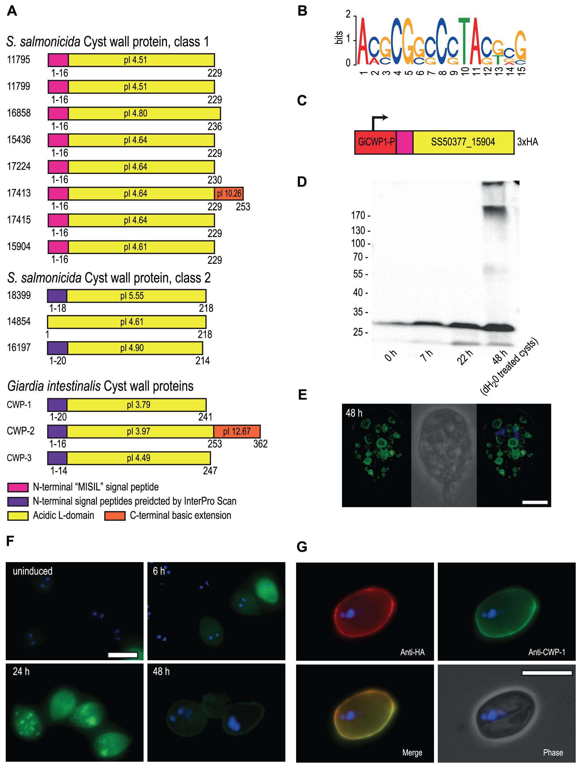 <i>S. salmonicida</i> cyst wall proteins traffic in <i>G. intestinalis</i> ESVs and incorporate into the cyst wall.