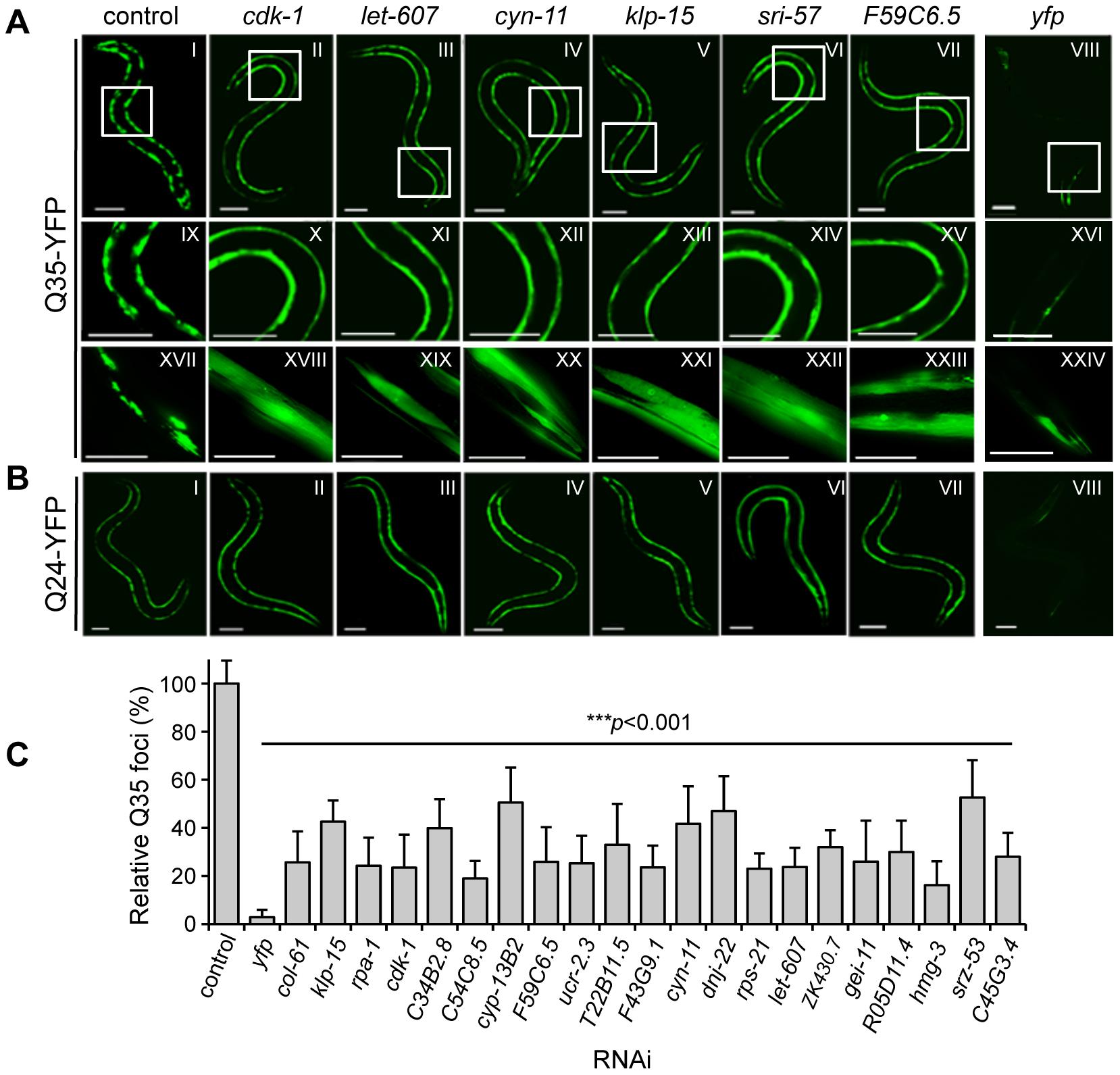 Genome-wide RNAi screen for suppression of Q35 aggregation.