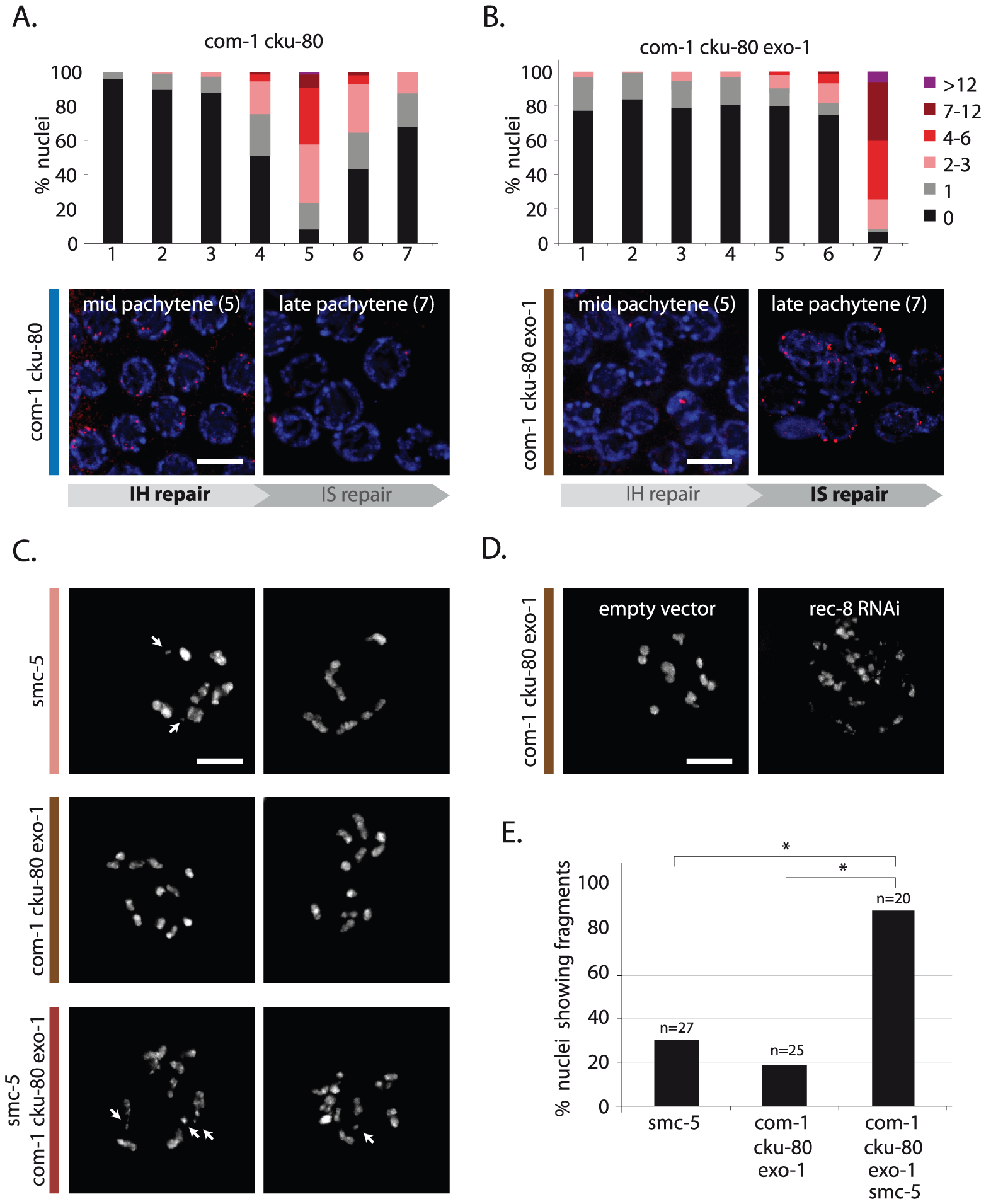 EXO-1 and COM-1 are needed for efficient interhomolog HR, but dispensable for intersister HR.
