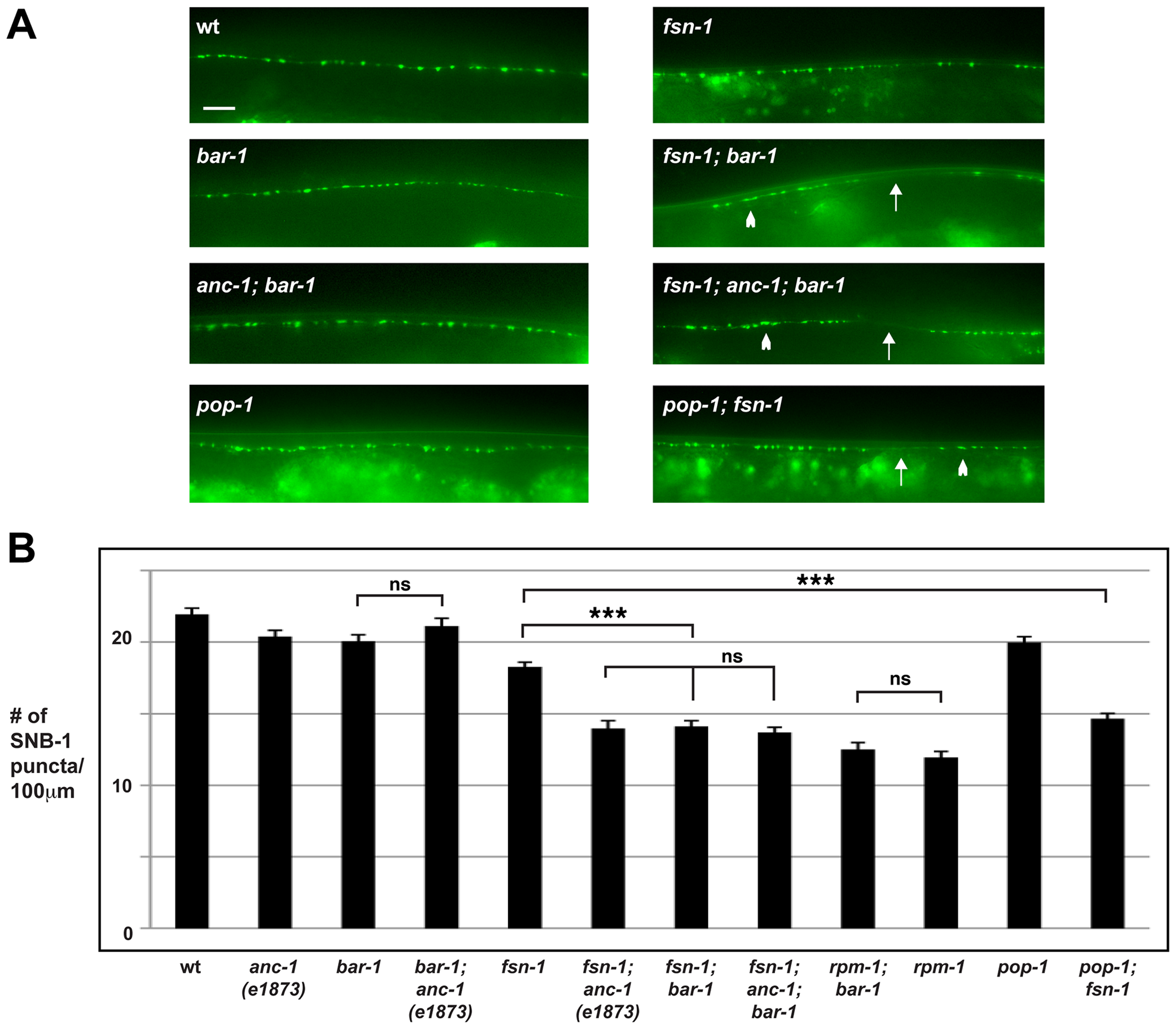 <i>anc-1</i> and <i>bar-1</i> function in the same genetic pathway to regulate synapse formation.