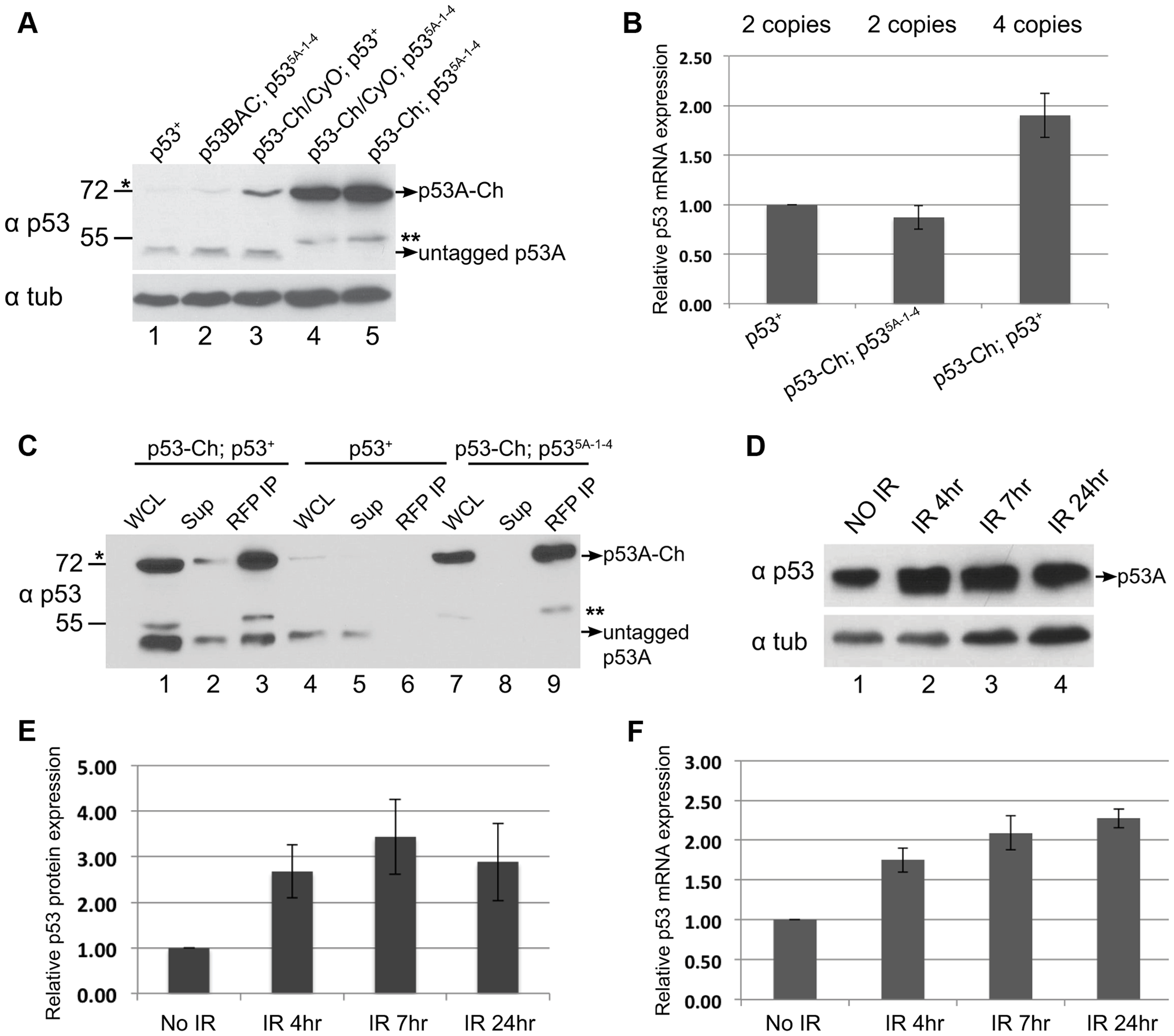 p53 protein complex turnover in mitotic cycling cells.