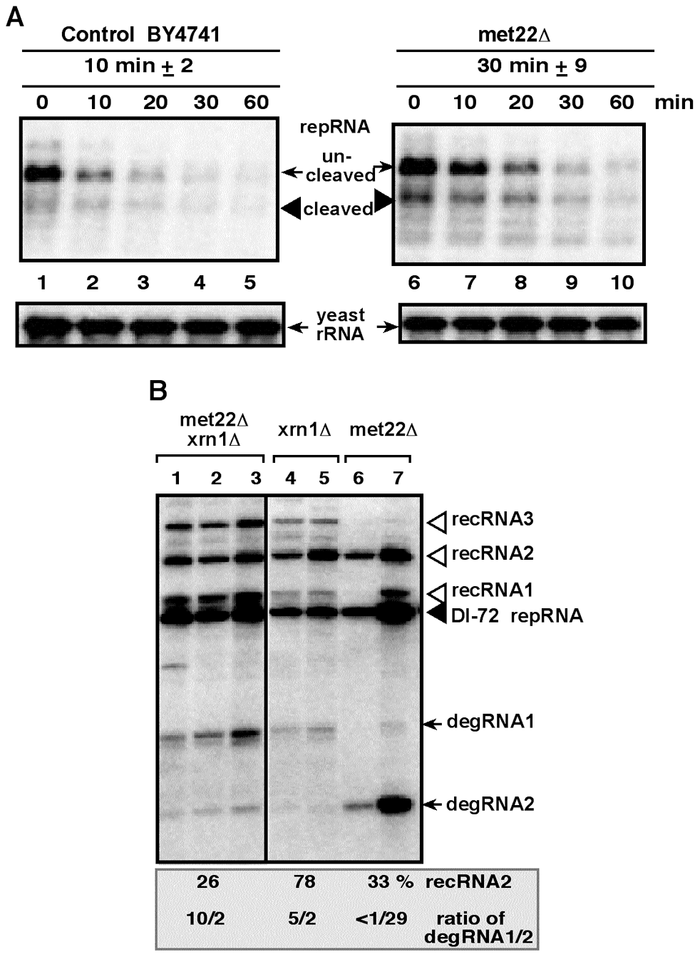 Increased stability of the TBSV repRNA in <i>met22Δ</i> yeast.