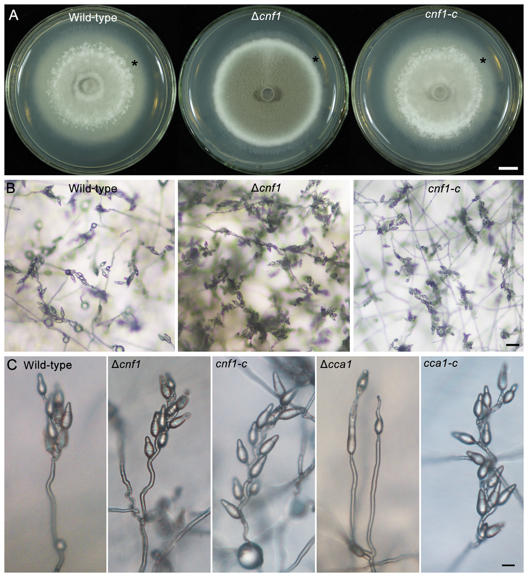 Mycelial appearance and spore-bearing aerial hyphae of the <i>M. oryzae</i> strains.