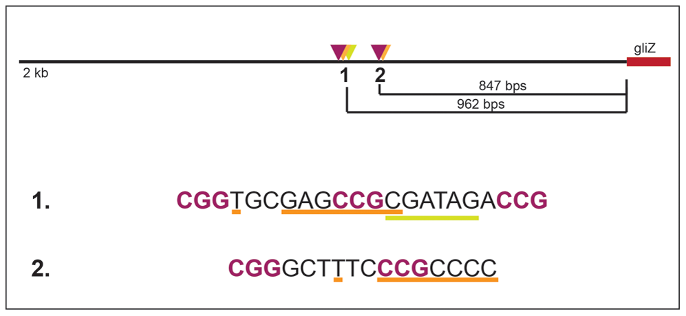 Layout of two potential GipA binding sites that are embedded in putative GliZ binding sites in the <i>gliZ</i> promoter.