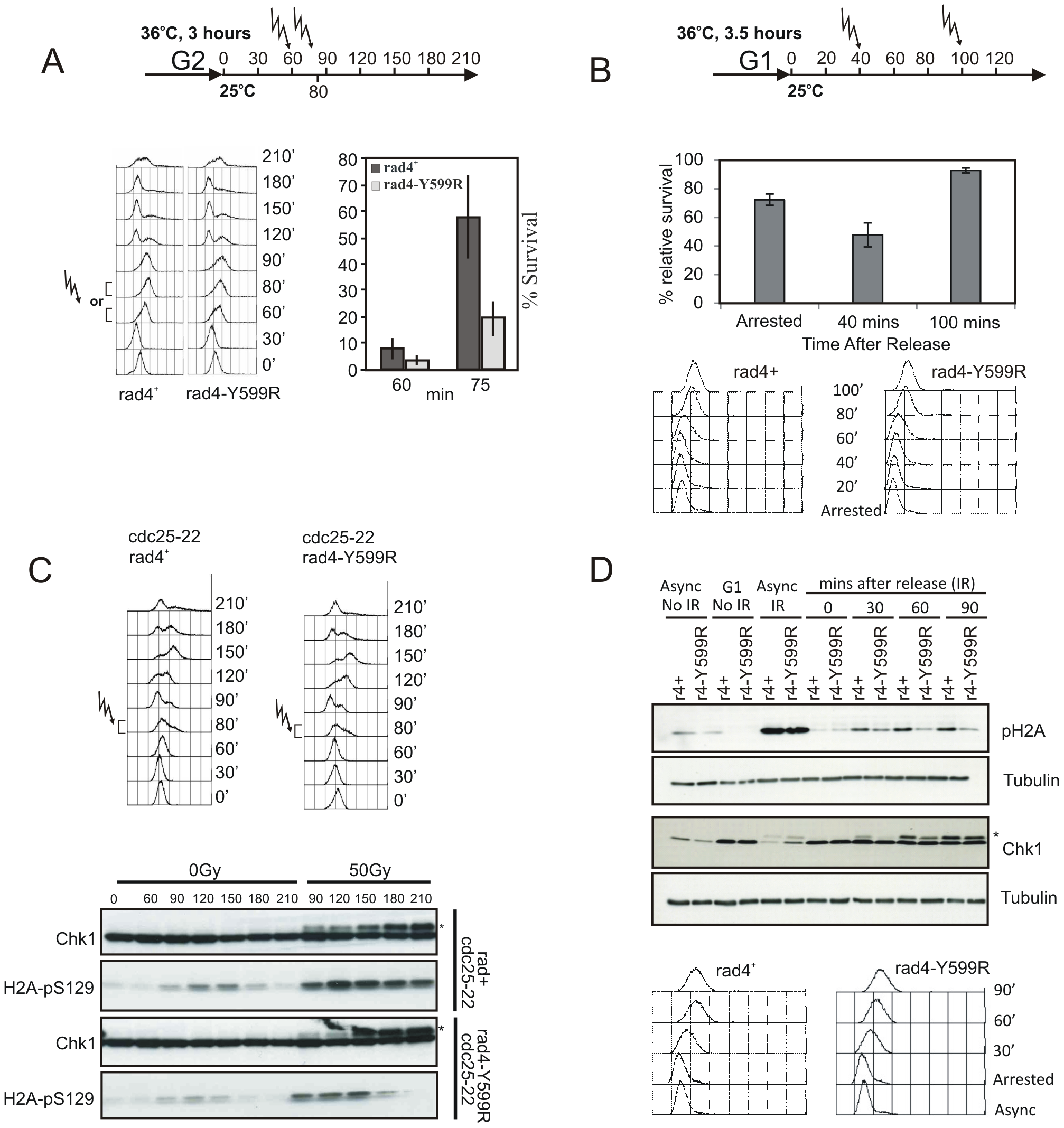 The Rad4<sup>TopBP1</sup> AAD is defective in checkpoint activation in S phase.