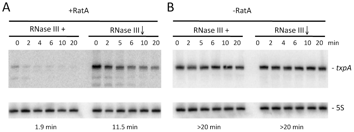 Degradation of <i>txpA</i> (AUG→AAG) mRNA by RNase III is RatA-dependent.