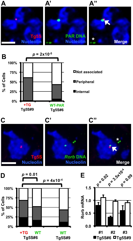 Nucleolar association of a genomic region increases upon integration of 5S rDNA transgenes.