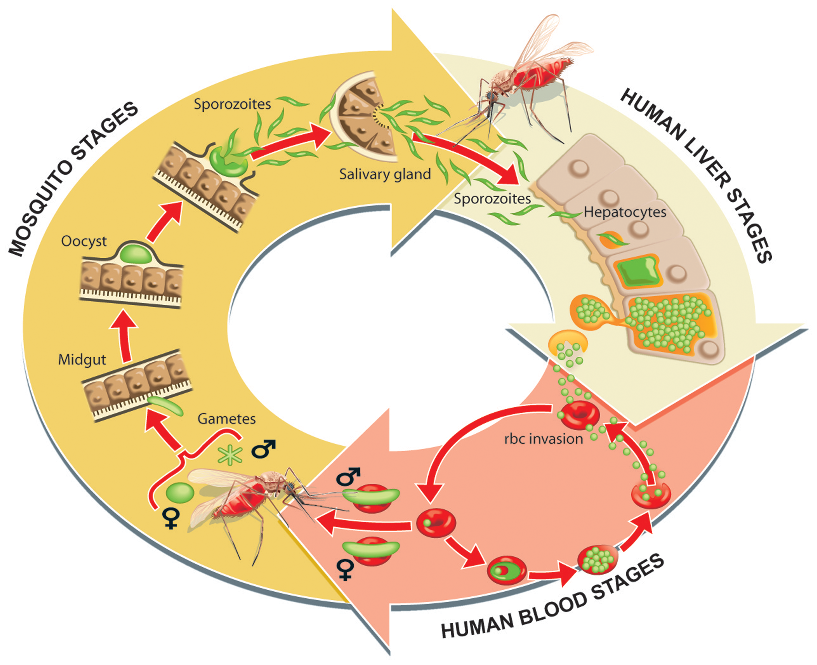 Parasite life cycle in the human host and mosquito vector.