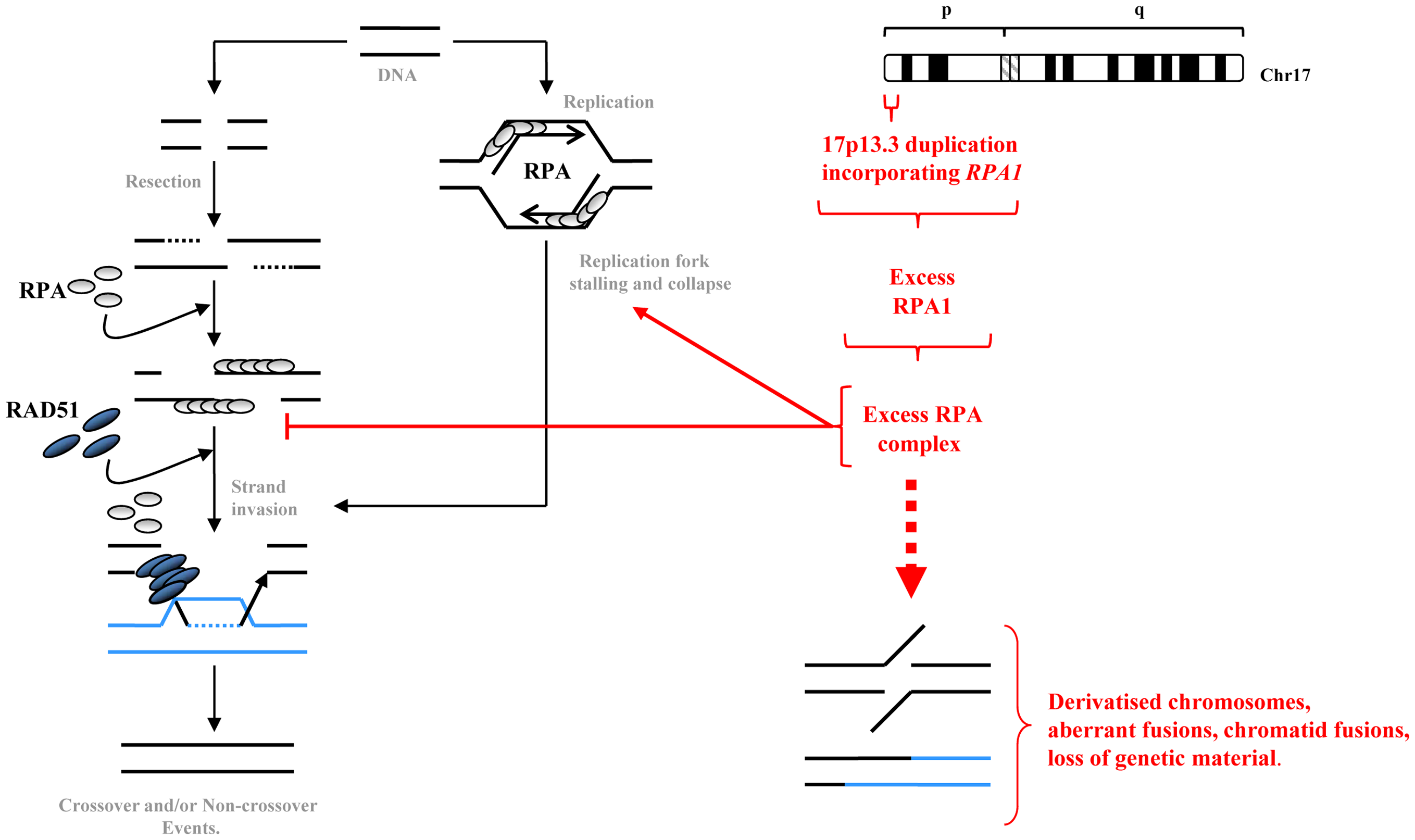 A summary model of how elevated RPA1 may adversely impact on homologous recombination.