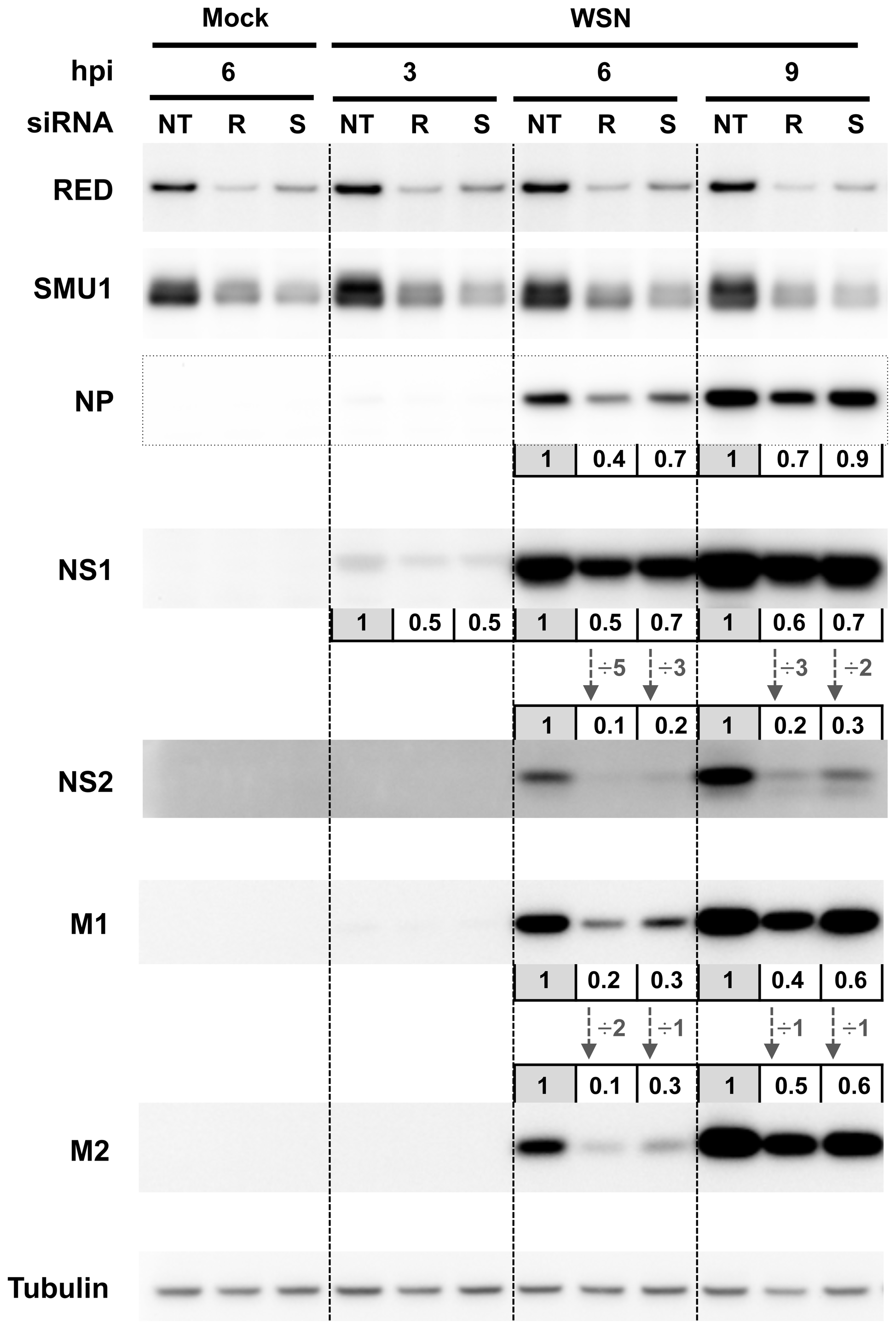 Effect of RED or SMU1 knock-down on the accumulation of influenza virus proteins.