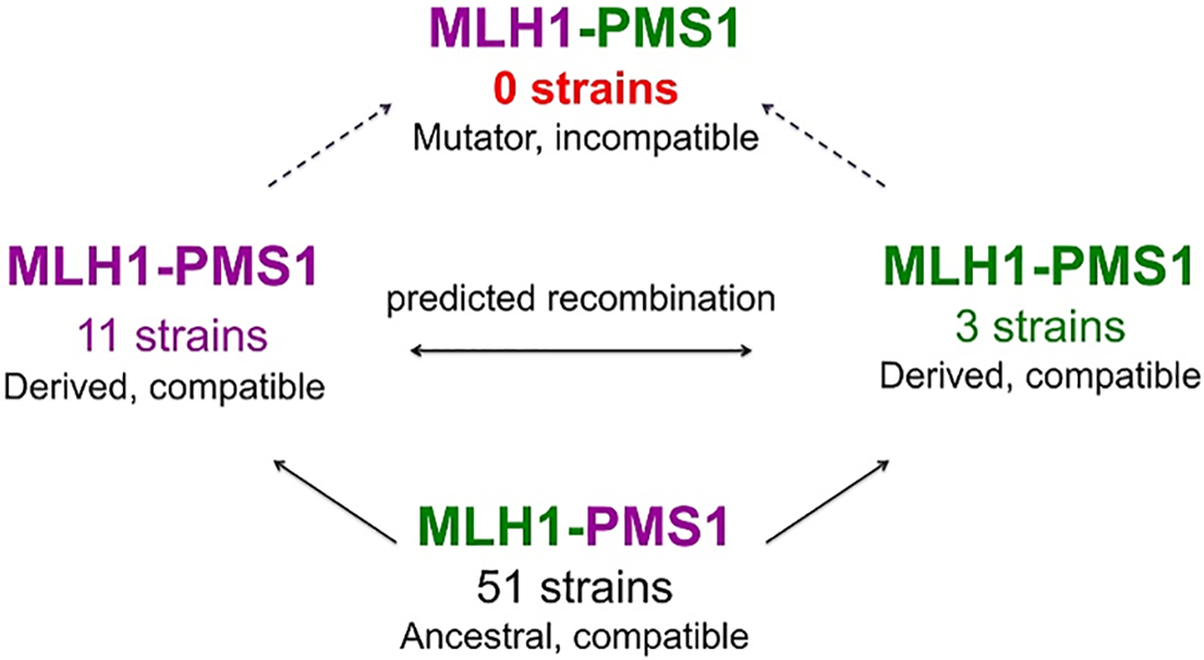 A model for how MMR incompatible populations arise in nature [<em class=&quot;ref&quot;>22</em>,<em class=&quot;ref&quot;>27</em>].
