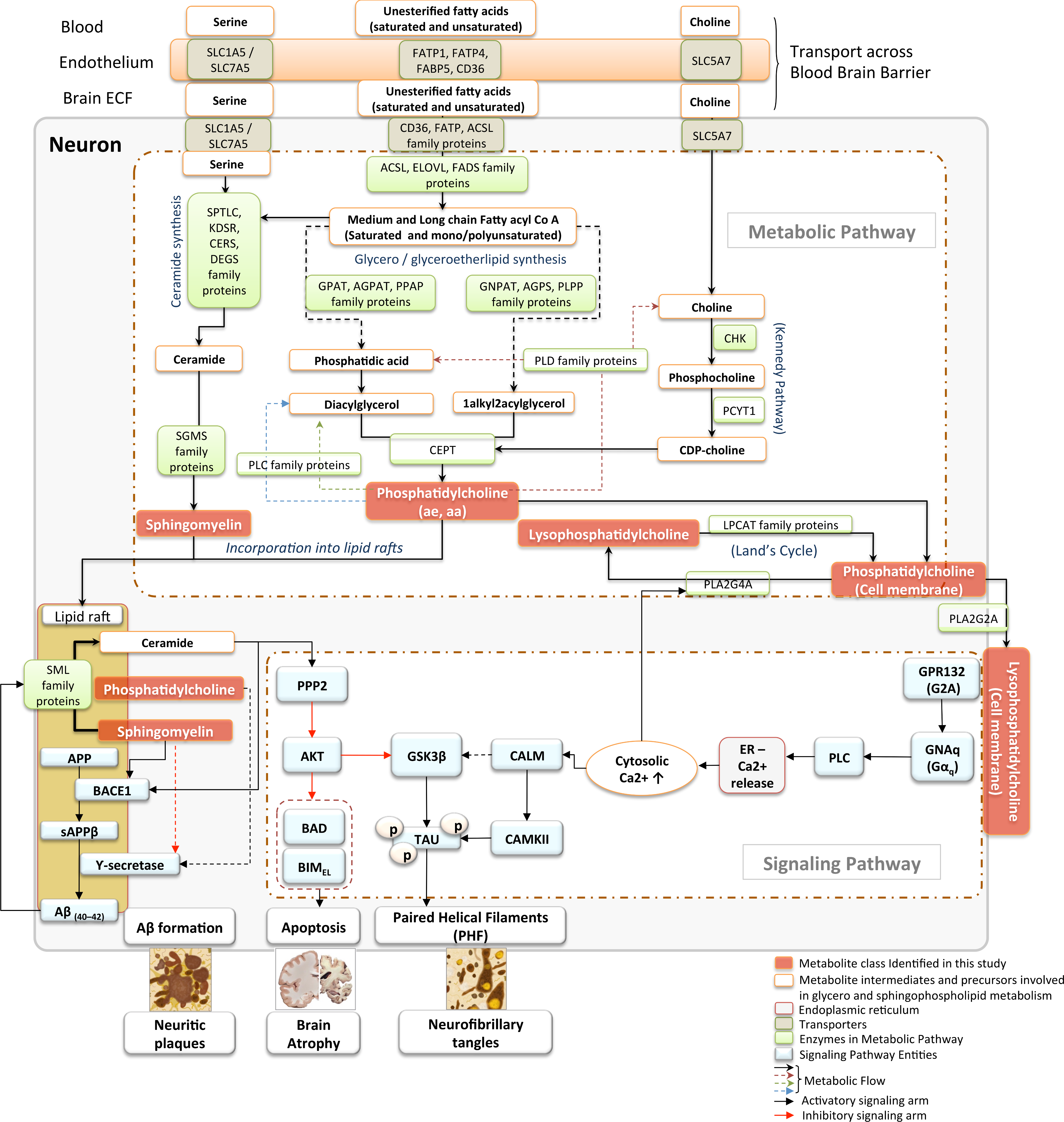 Metabolic pathways and signaling cascades involving glycerophospholipids and sphingolipids: relevance to AD pathogenesis.