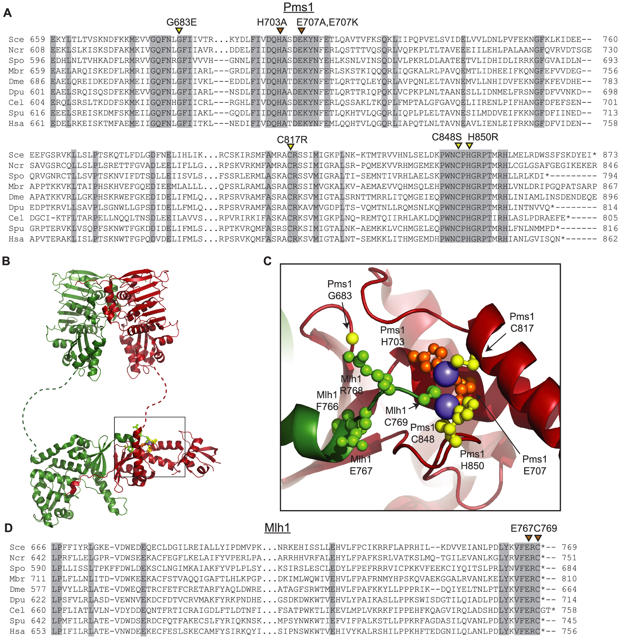Conserved amino acid residues comprise the Mlh1-Pms1 endonuclease active site.