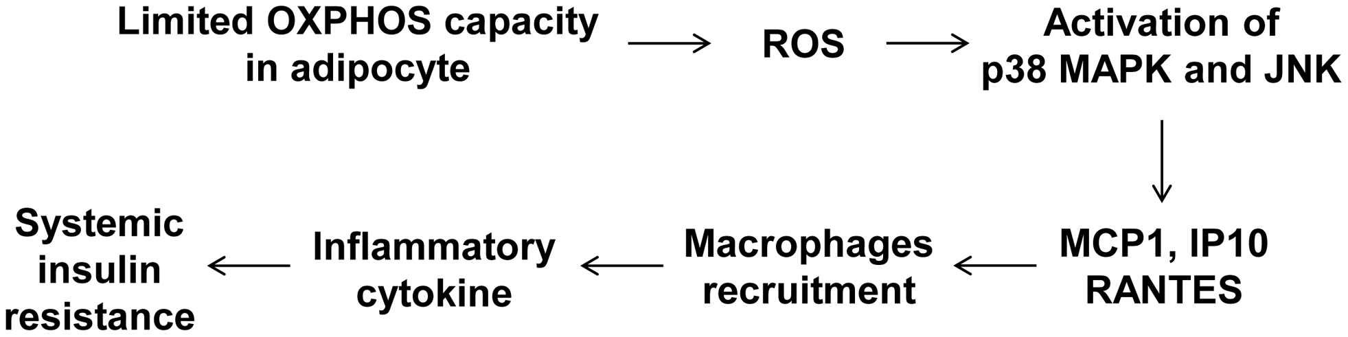 A model of the systemic insulin resistance developed by <i>Crif1</i>-haploinsufficient mice, which shows limited adipose OXPHOS capacity.