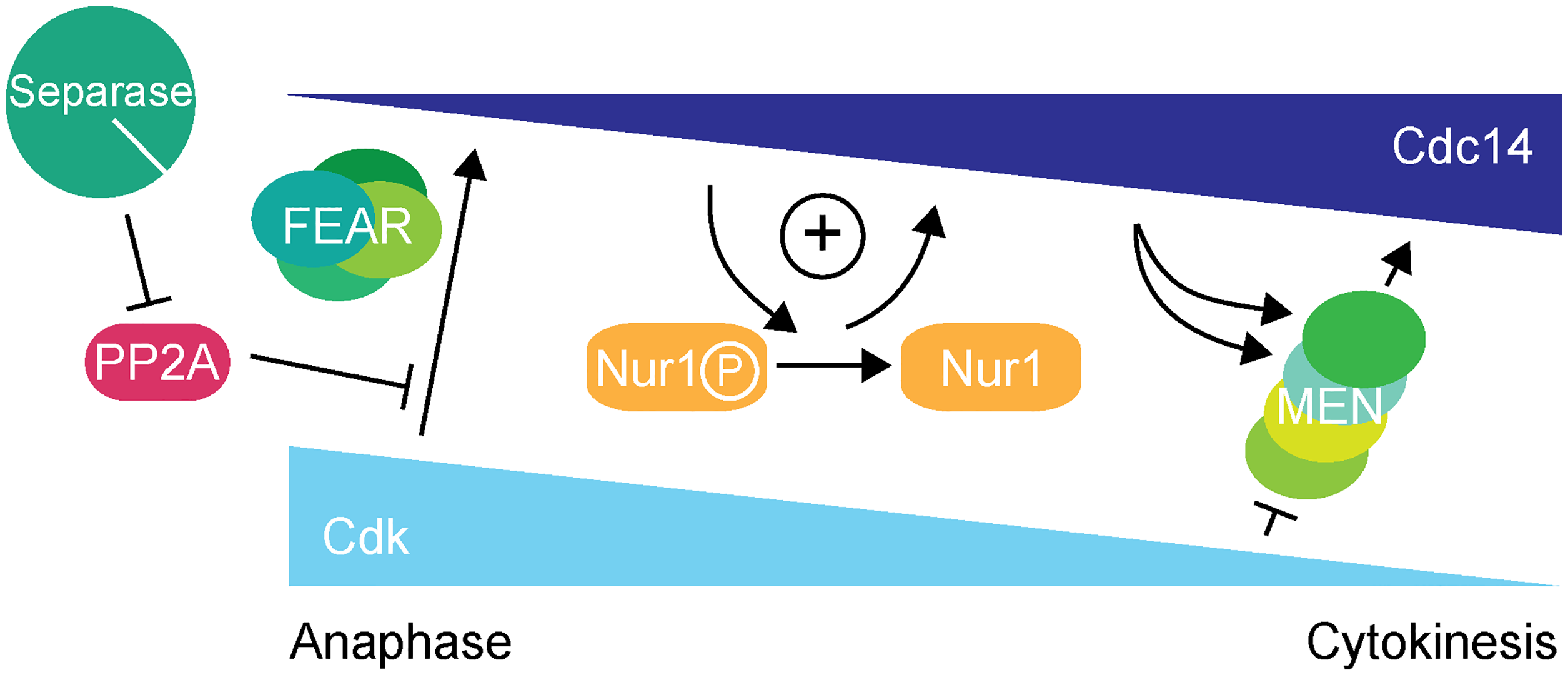 Nur1 establishes a positive feedback loop to promote Cdc14 release in early anaphase.