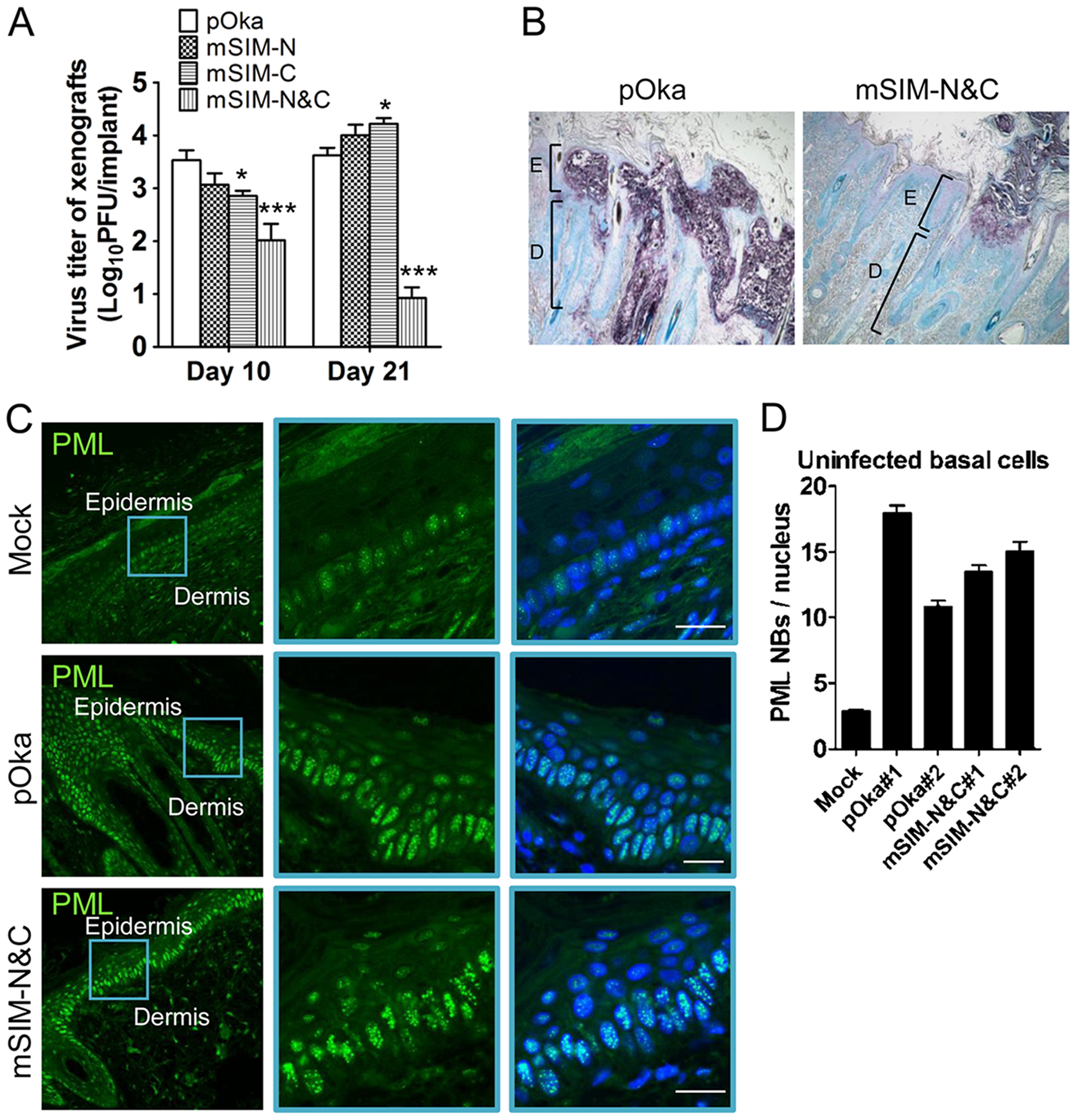 ORF61 SIMs are critical for VZV virulence in skin.