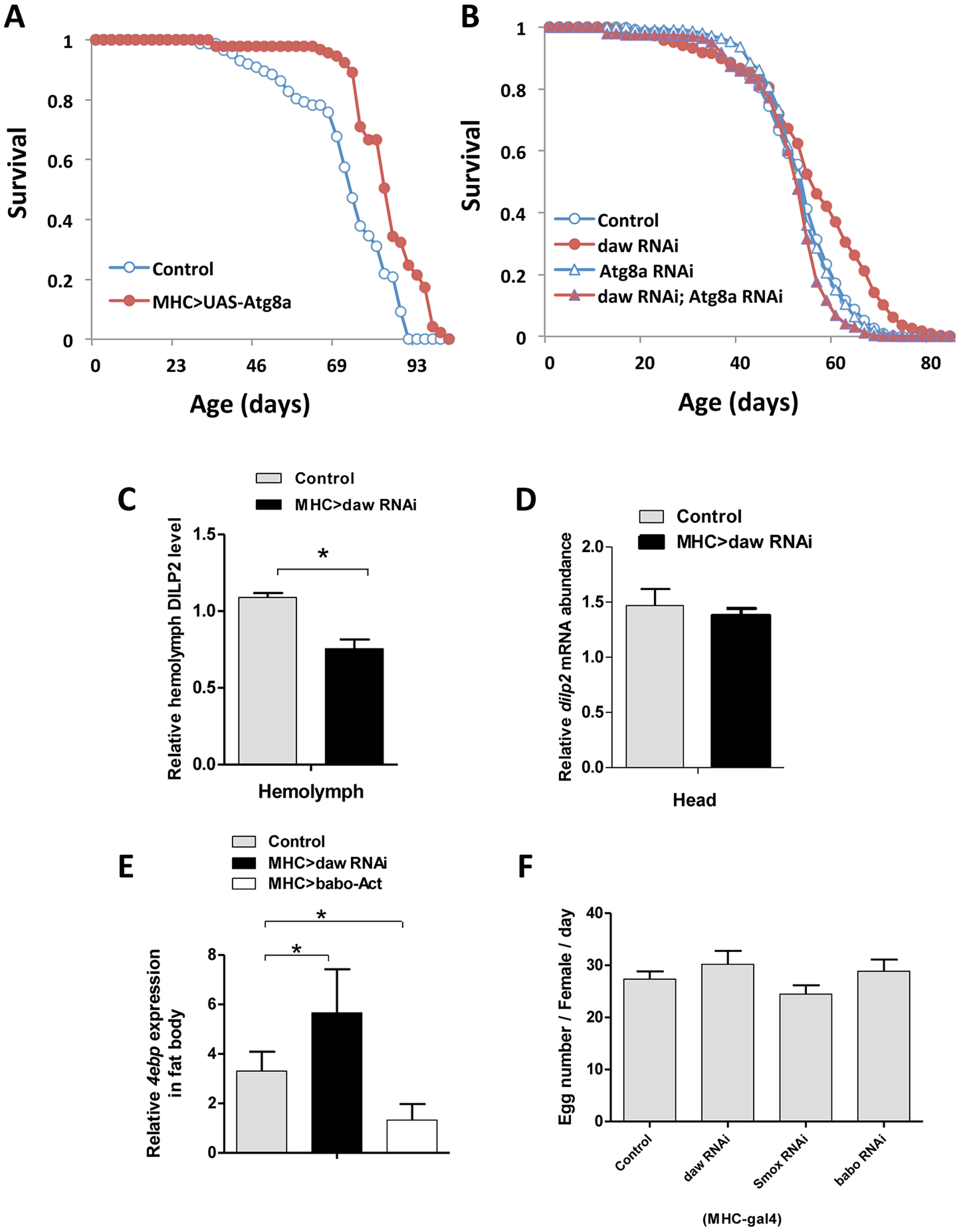Muscle Activin signaling regulates longevity through <i>Atg8a</i> and remotely controls brain insulin secretion.