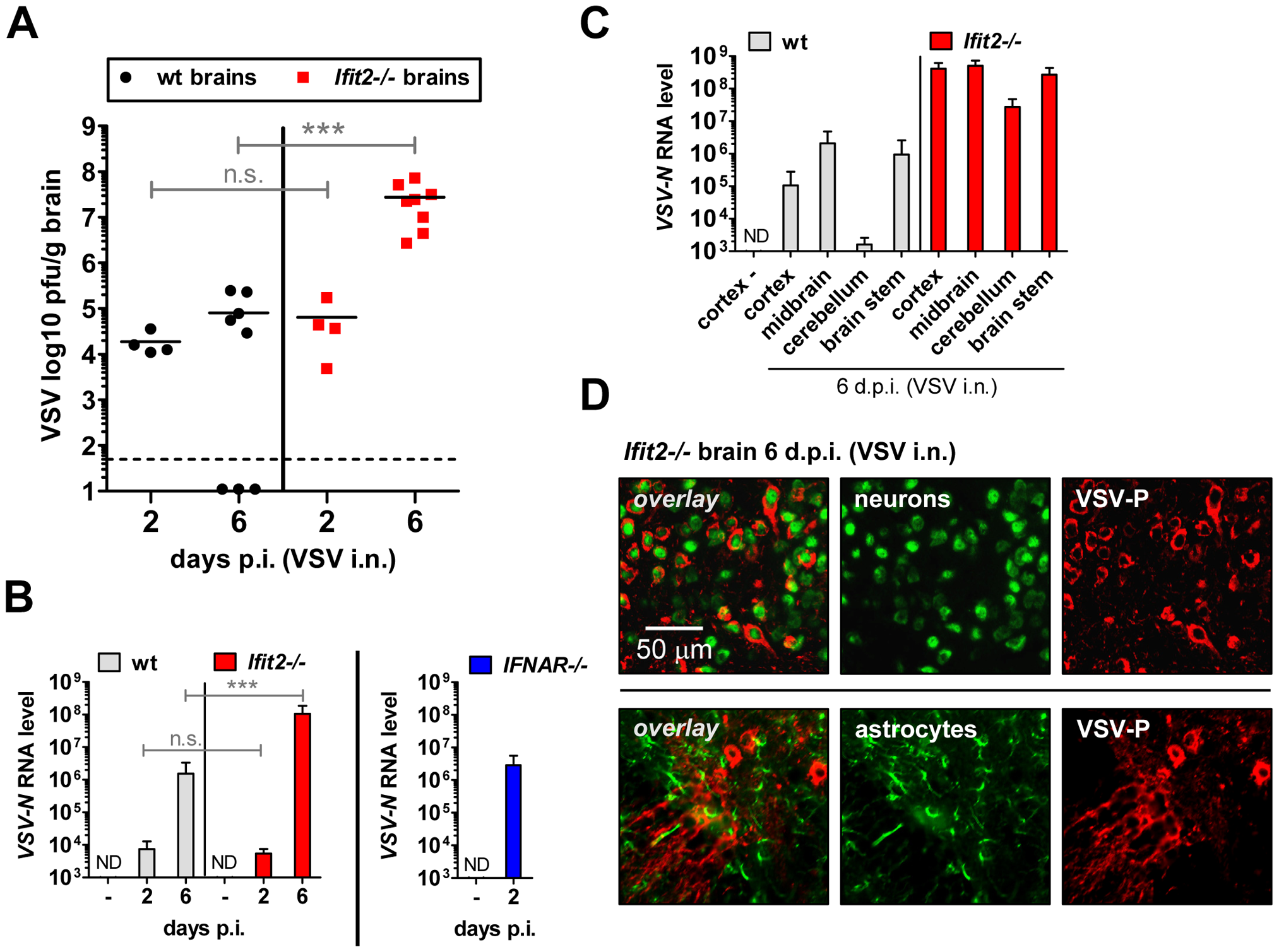 <i>Ifit2</i> suppresses VSV replication in the brain after intranasal infection.