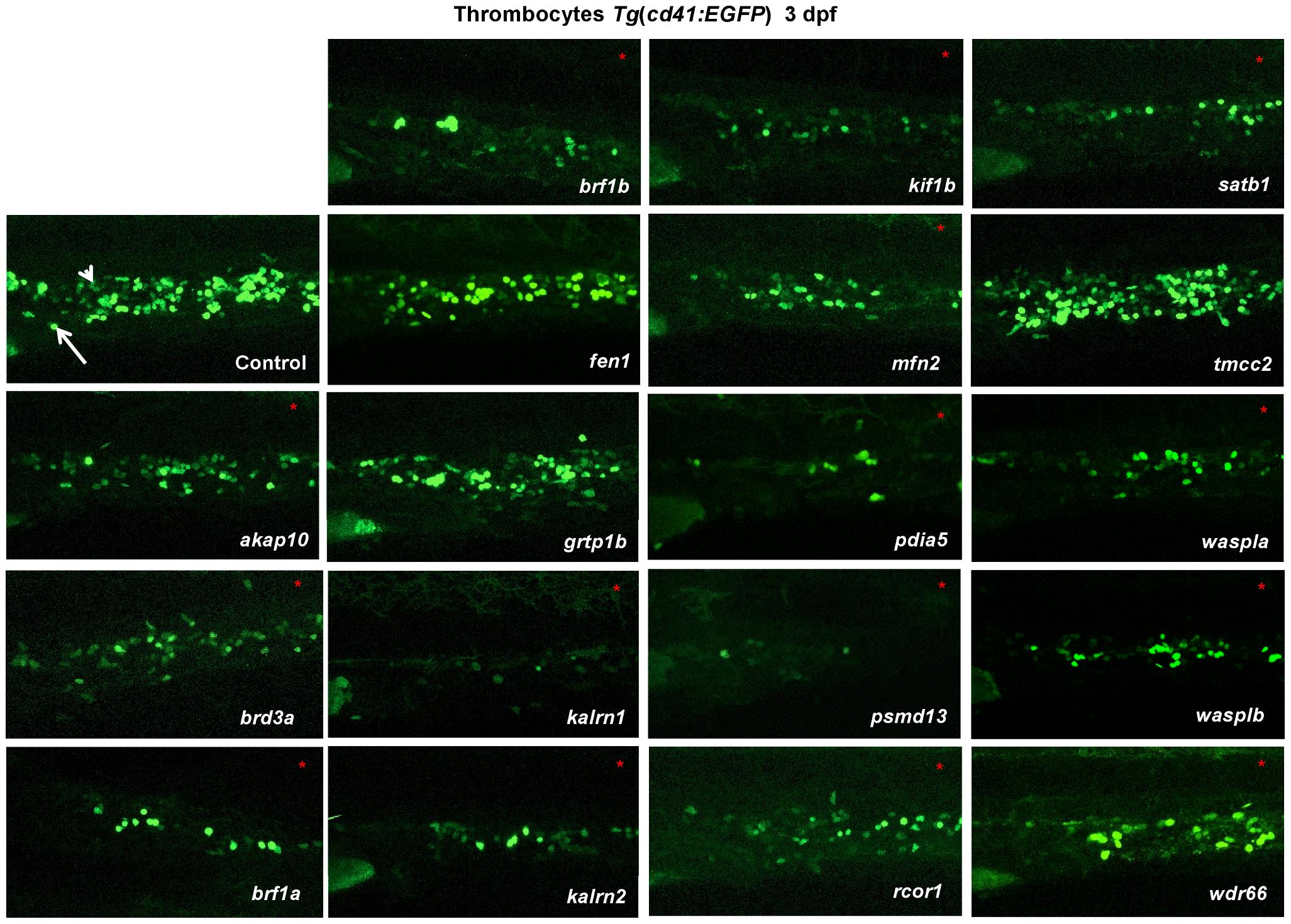 <i>In vivo</i> morpholino screen in zebrafish identifies 15 new regulators of thrombopoiesis.