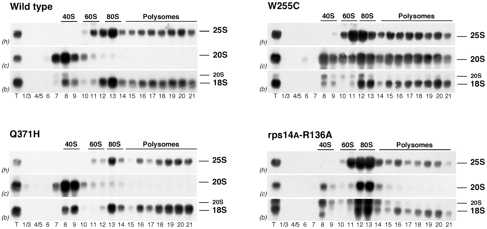 20S pre-rRNA containing 40S subunits get incorporated into polysomes in <i>rpl3</i>[W255C] cells.