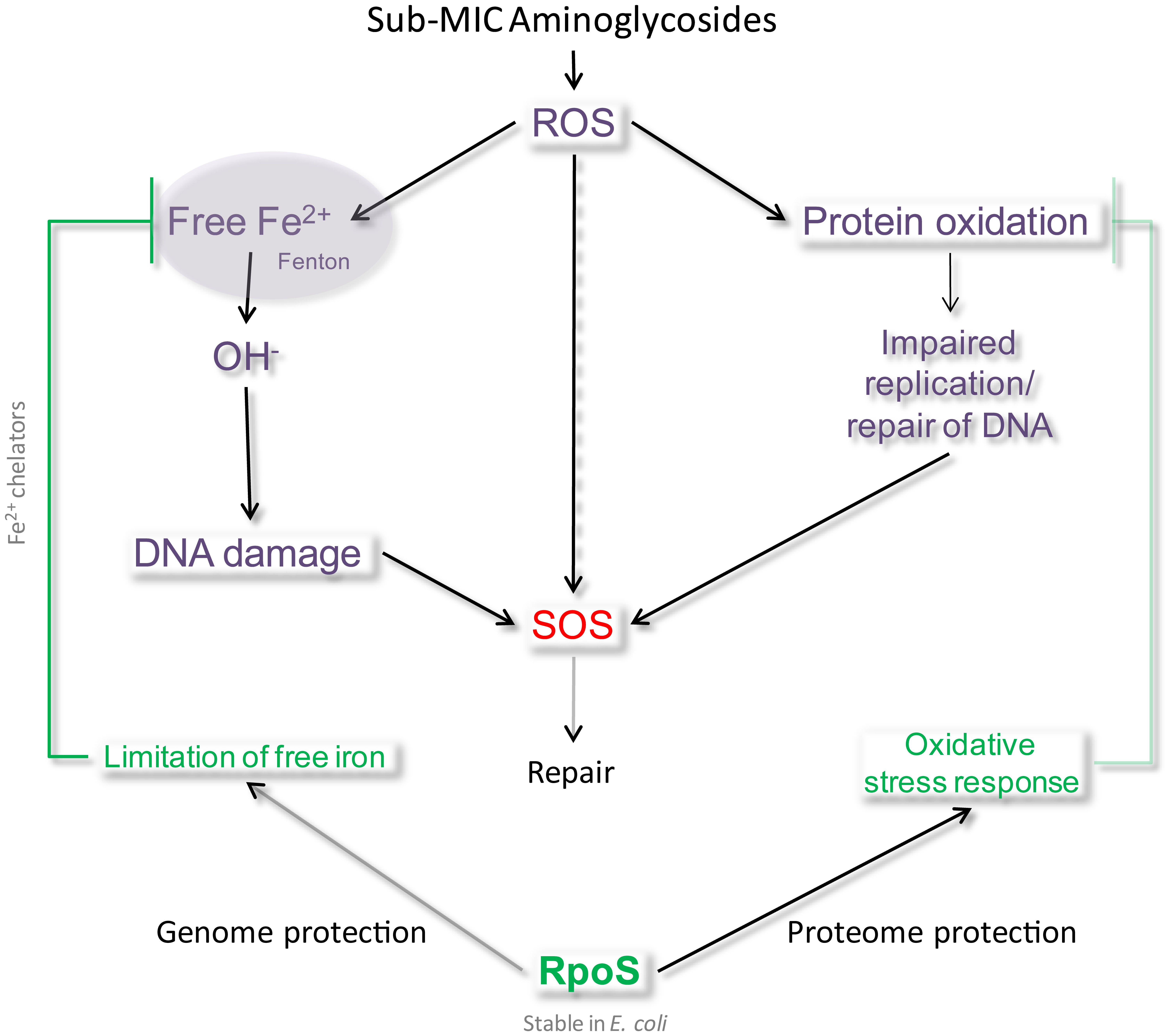 Model of SOS induction by sub-MIC aminoglycosides.